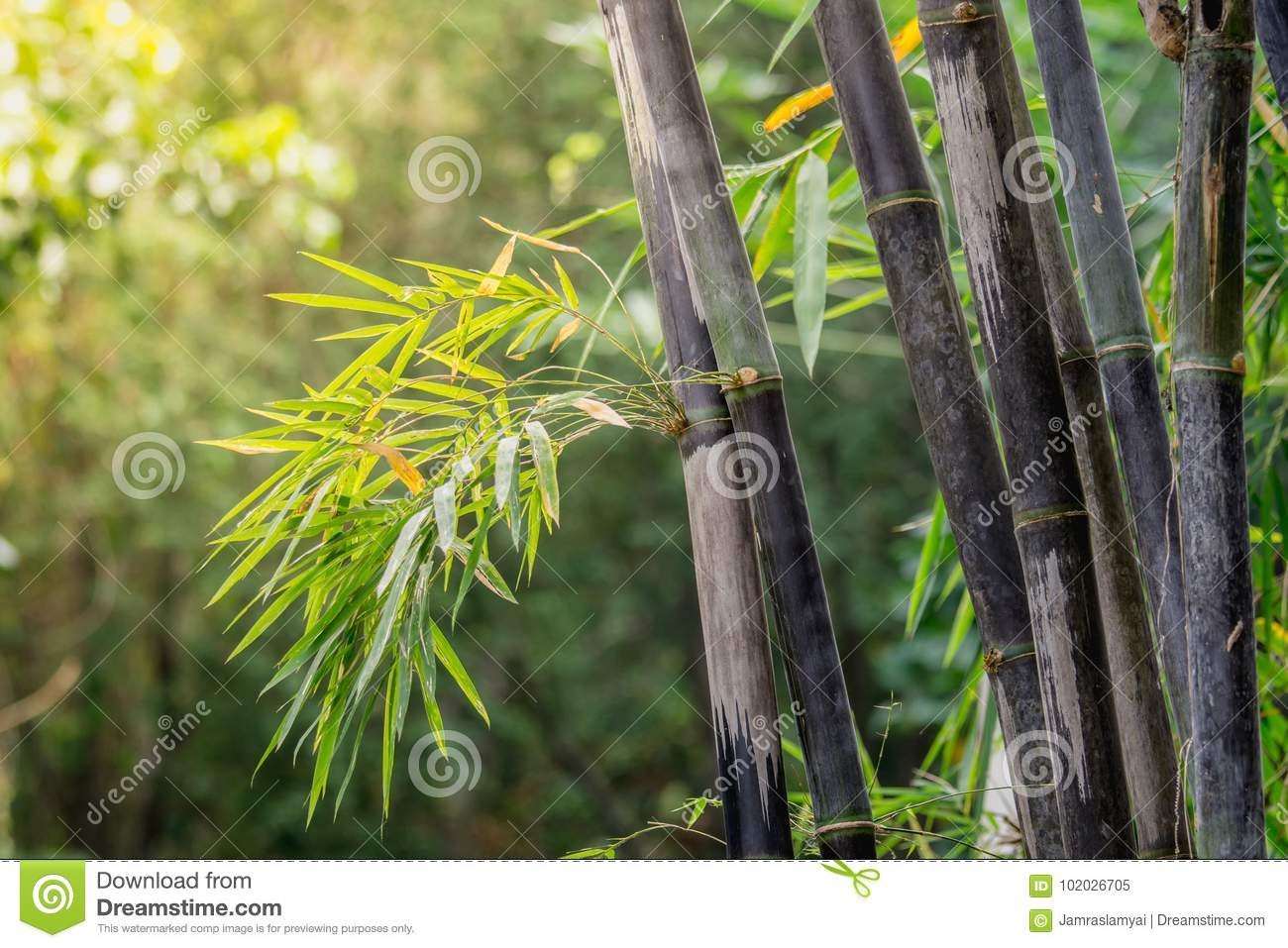 Clump Black Bamboo Is Species That Are Rare Green Bamboo