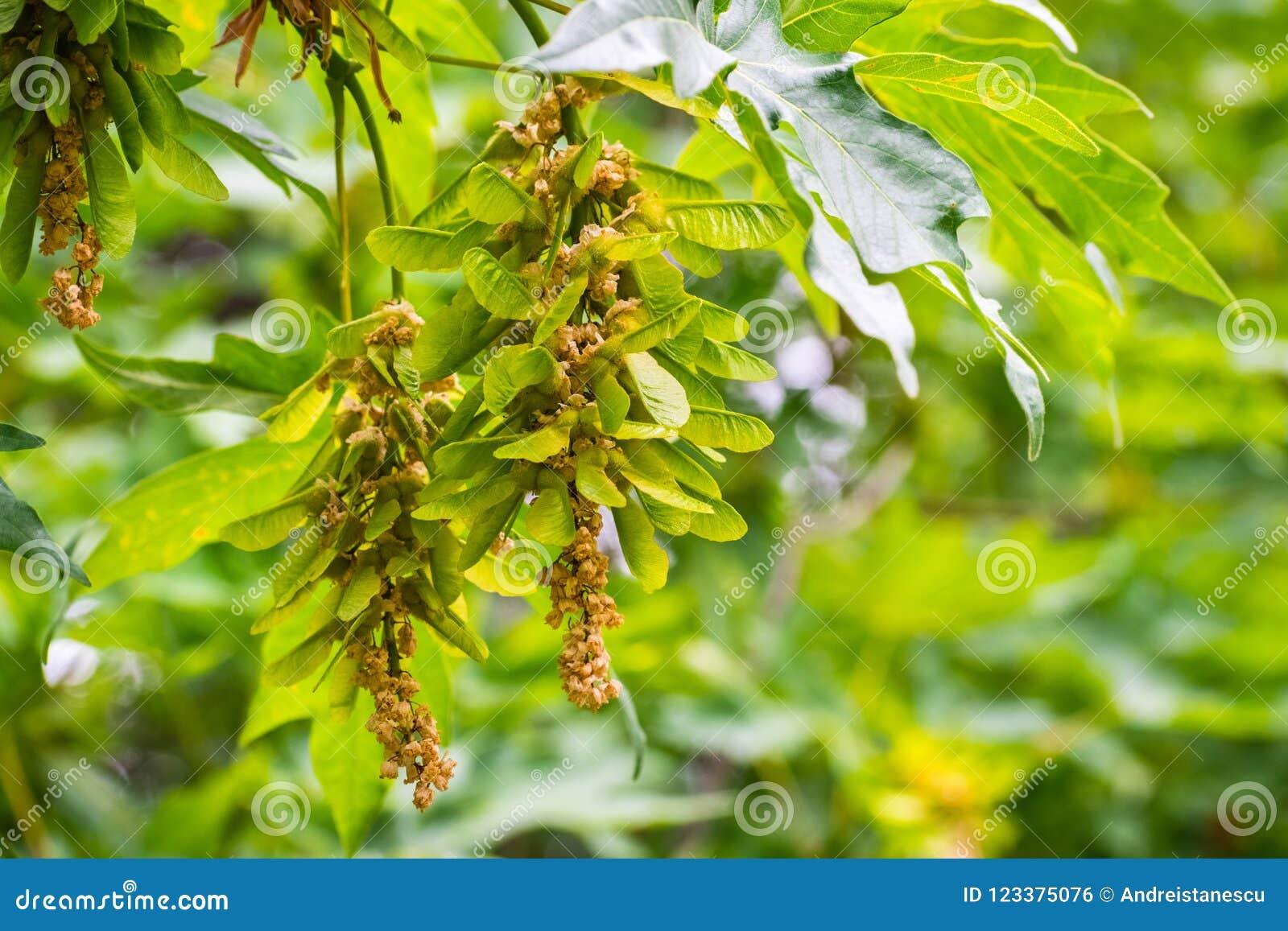 Big Leaf Maple Acer Macrophyllum Winged Seeds Samaras Stock Photo