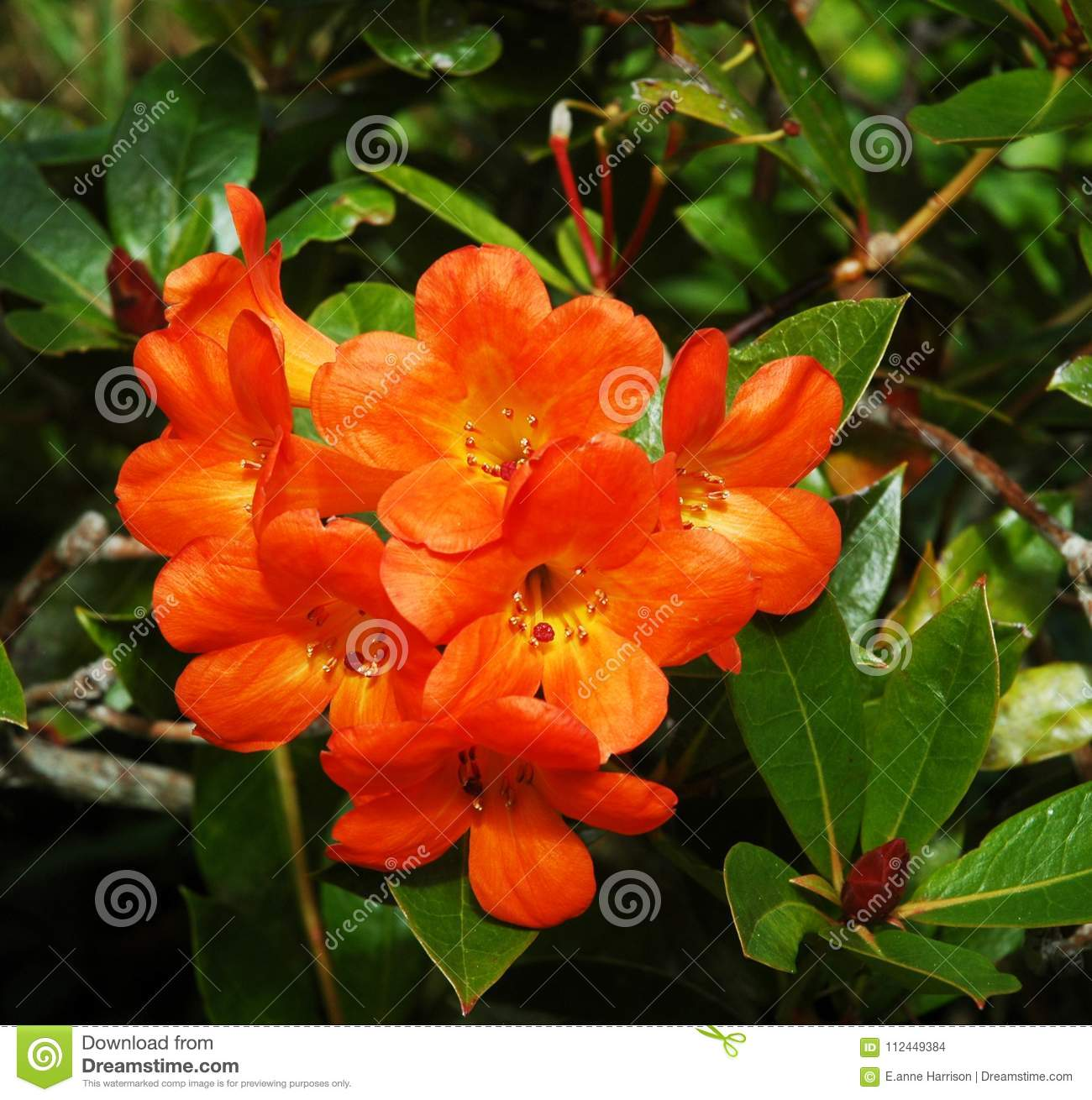 A Cluster Of Bright Orange Flowers On A Bush With Dark