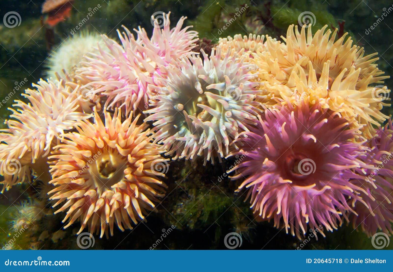 A cluster of Dahlia Anemones