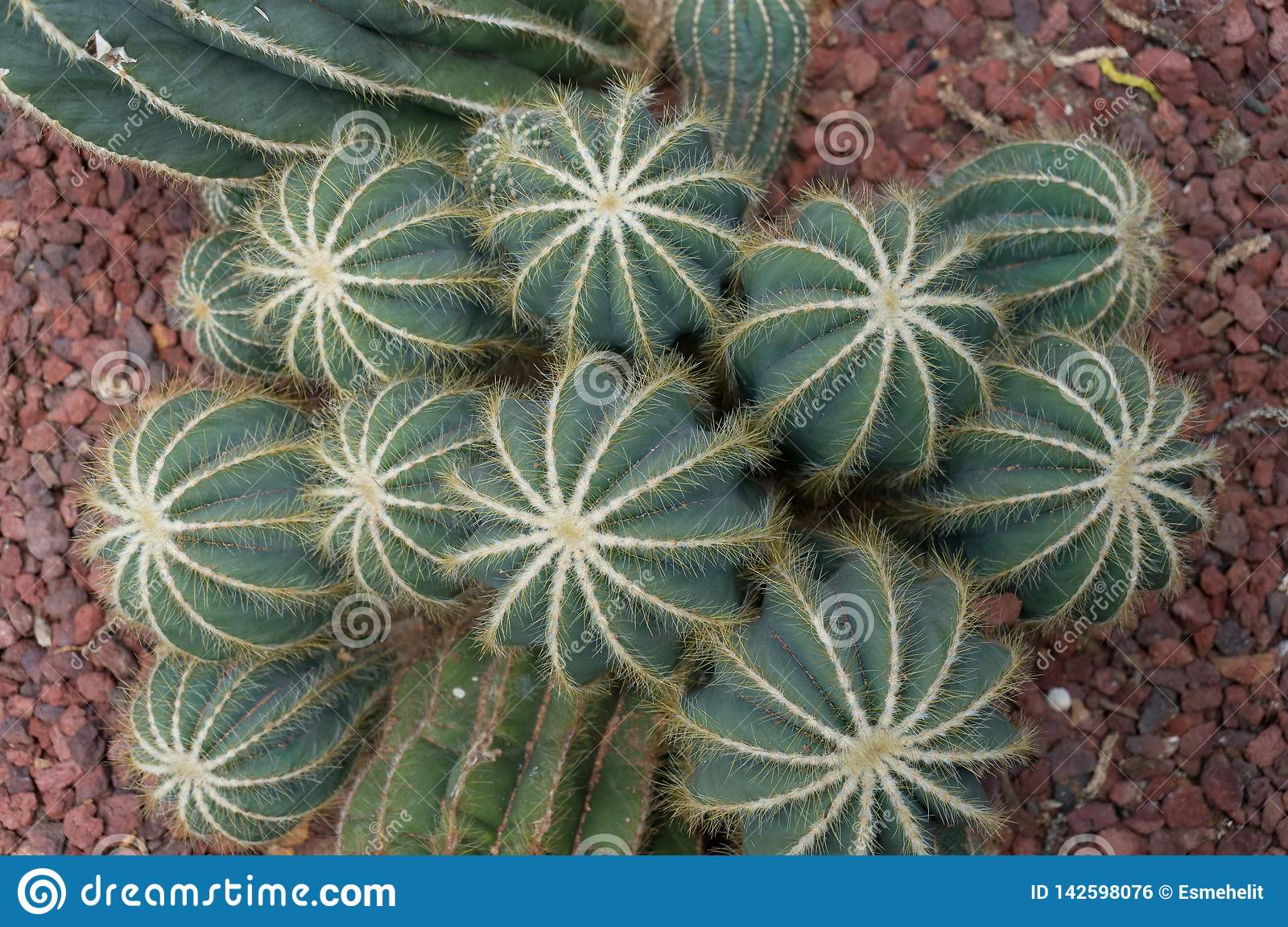 Cluster of golden barrel or mother-in-law cushion cacti