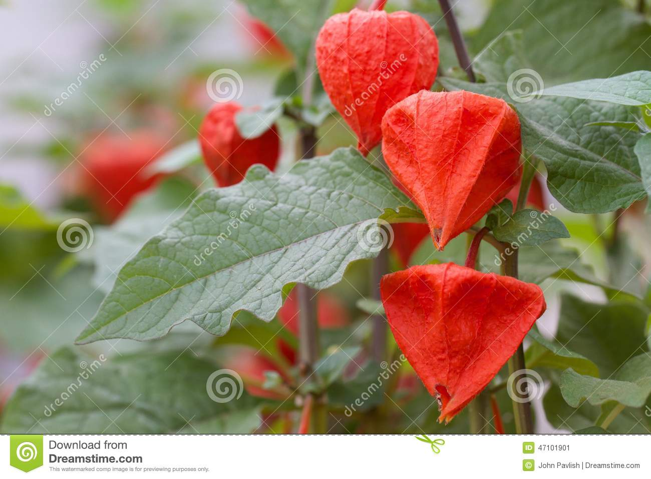 Cluster group of Chinese lantern Flowers Plants with close up macro distance