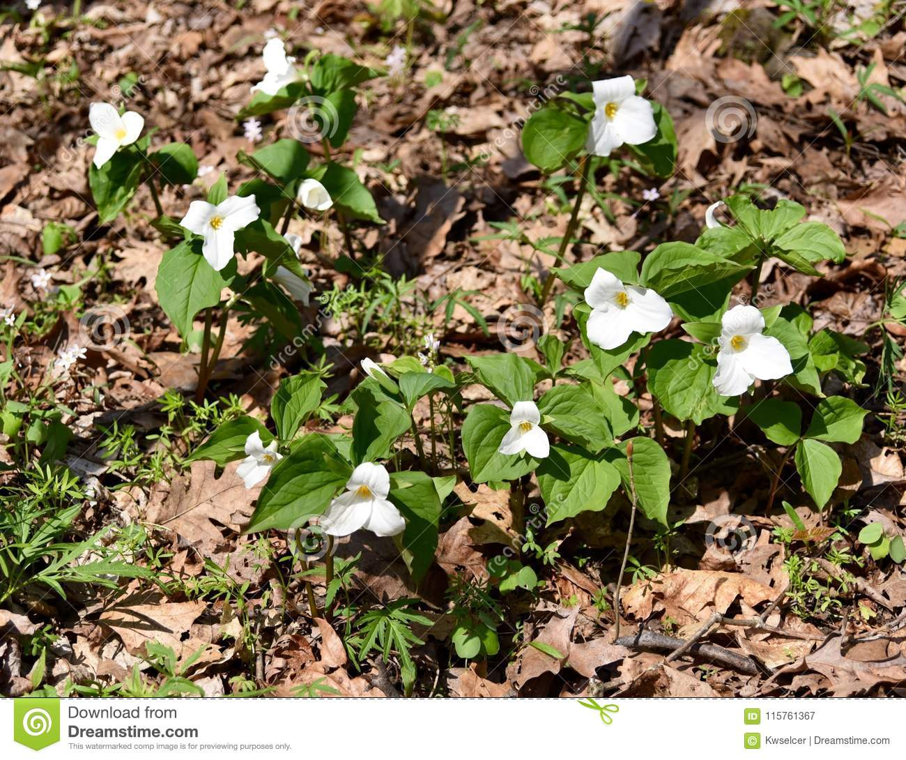 A Cluster Of Large White Trillium Plants Emerging In A Spring