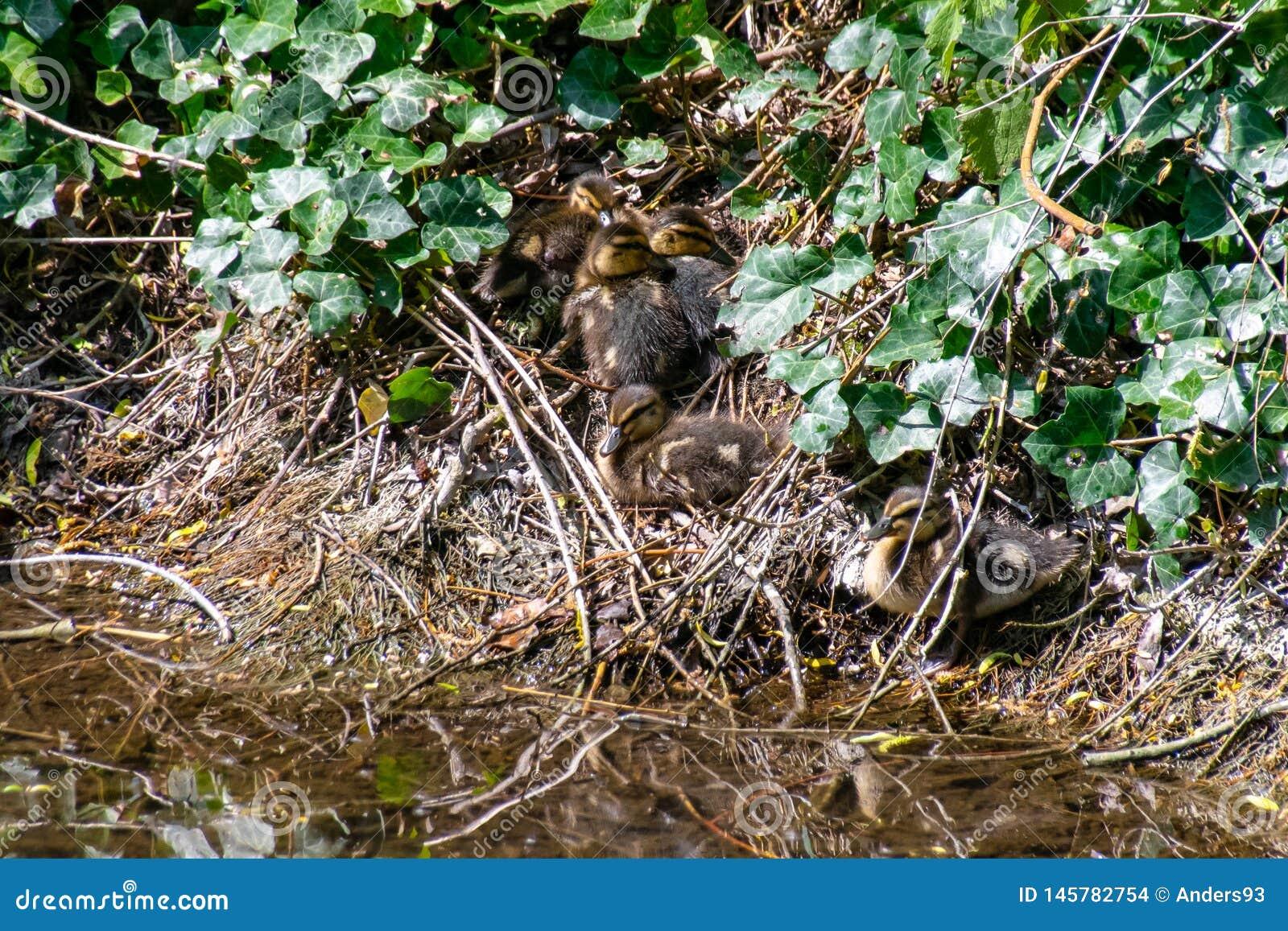 Cluster of mallard ducklings huddled together on the riverbank hidden amongst the vegetation