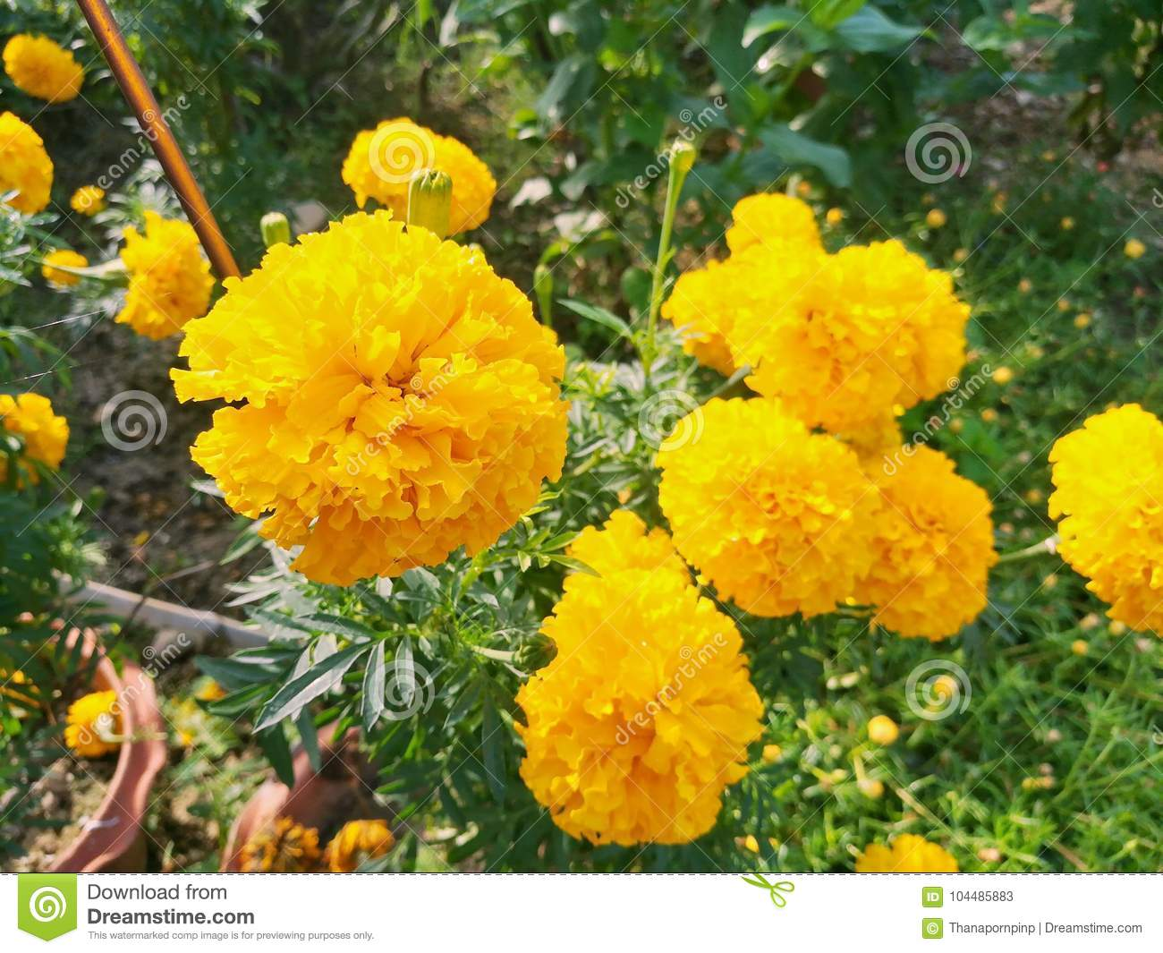 Cluster of marigold in the garden beautiful bright yellow flowers download cluster of marigold in the garden beautiful bright yellow flowers stock image mightylinksfo