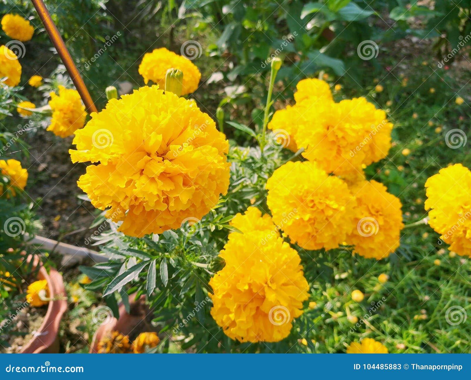 Cluster of marigold in the garden beautiful bright yellow flowers cluster of marigold in the garden beautiful bright yellow flowers mightylinksfo