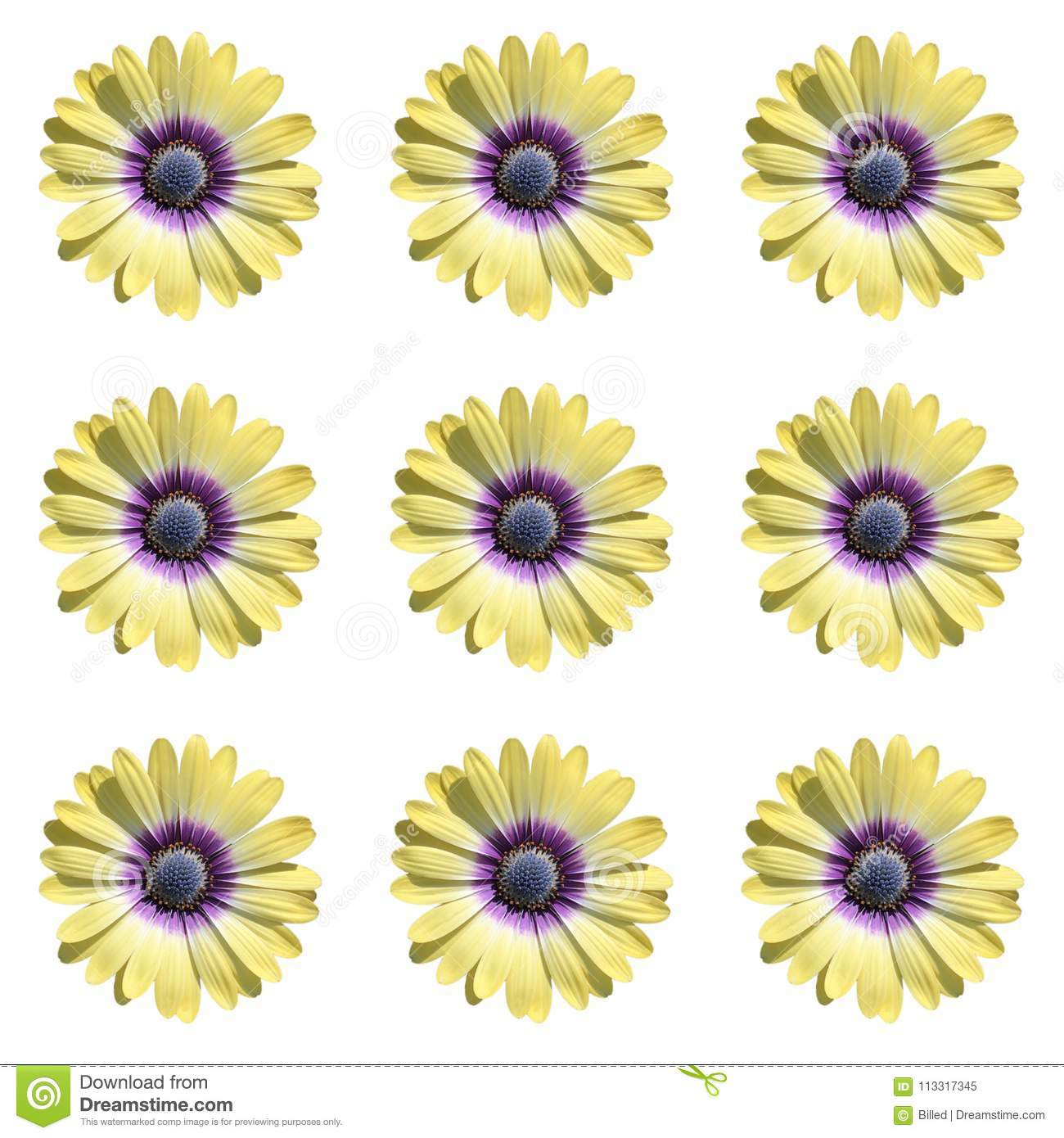 Cluster of nine yellow daisy flowers on white background stock cluster of nine yellow daisy flowers on white background izmirmasajfo