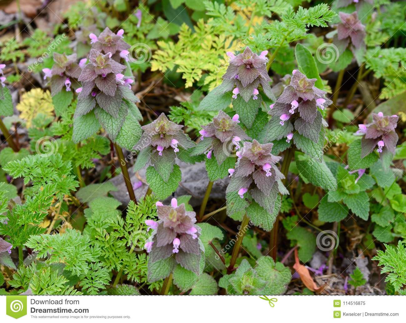 Cluster Of Red Dead Nettle Plants With Pink Flowers And Purple And