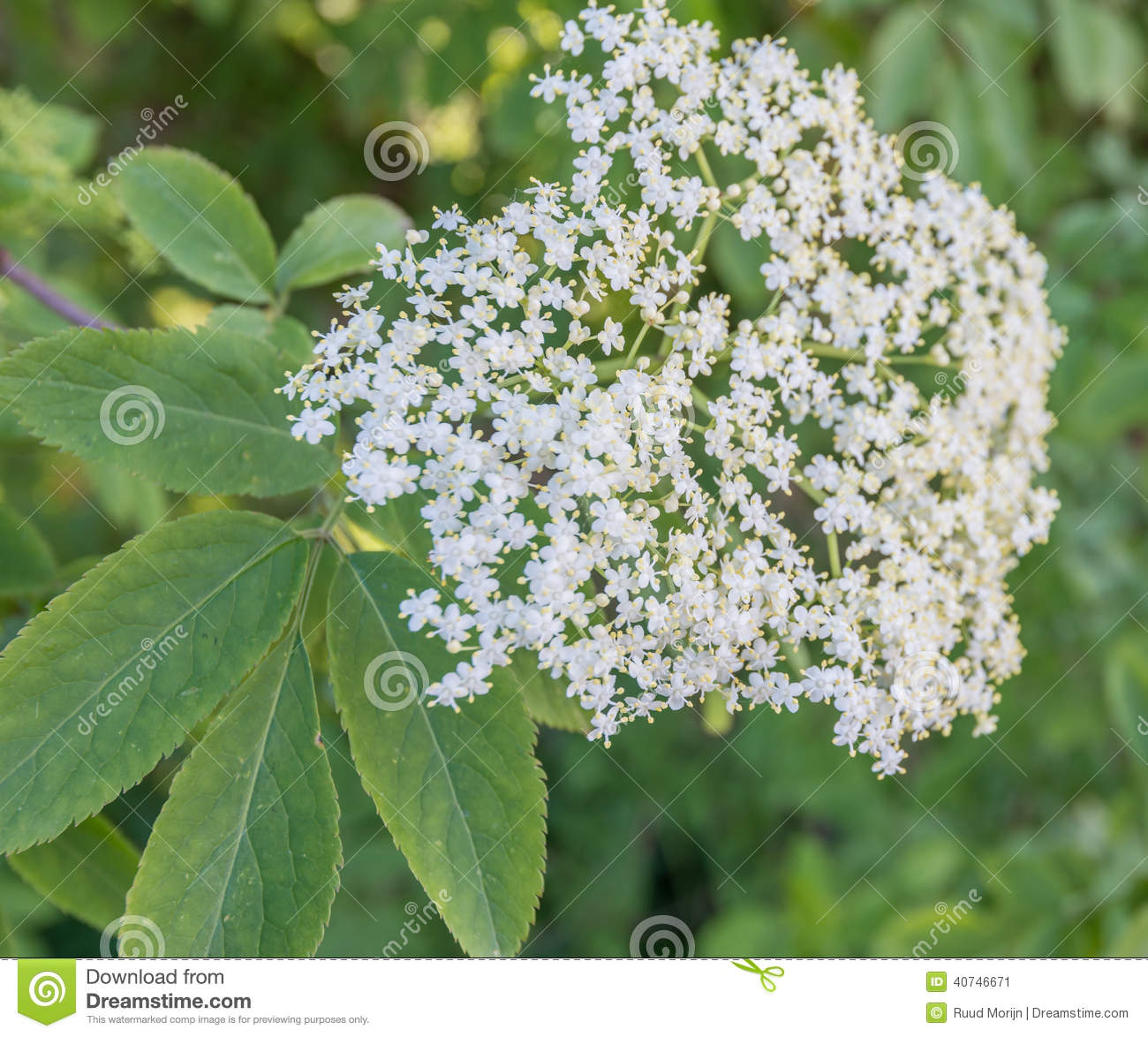 Cluster of small elderberry flowers in sprintime stock image image cluster of small elderberry flowers in sprintime mightylinksfo