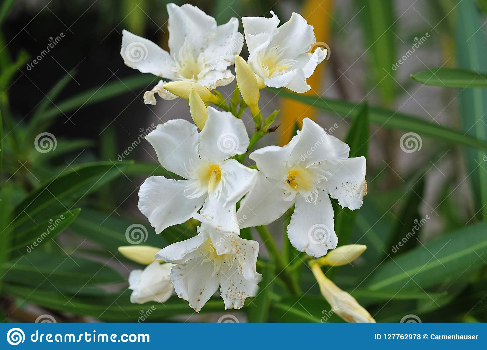 Close Up Of White Oleander Flowers Stock Photo Image Of Toxic
