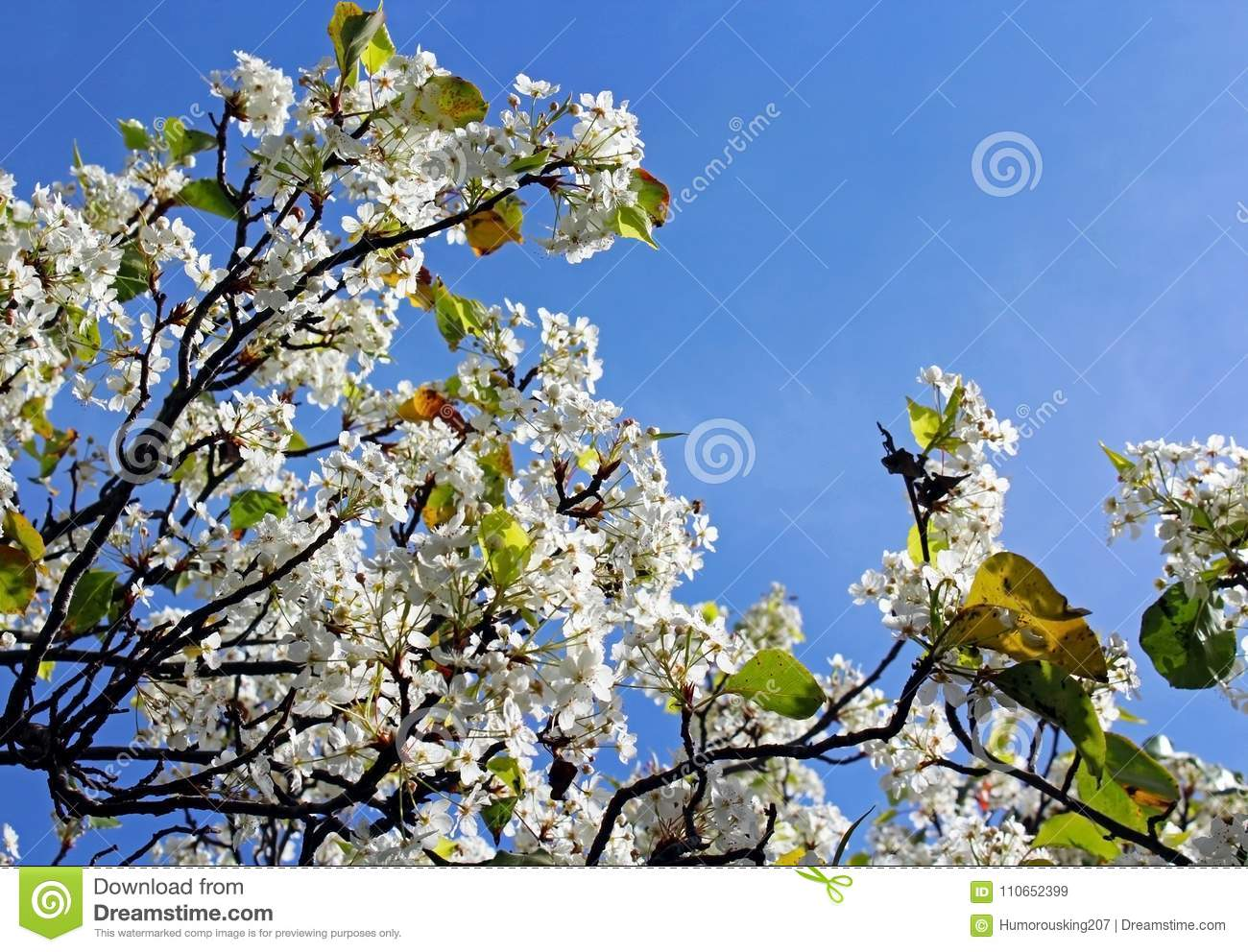 Cluster White Flowers Of Evergreen Pear Tree Stock Image Image Of
