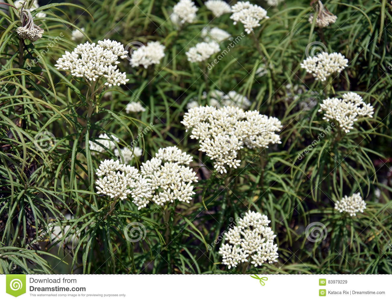 Cluster Of White Flowers Stock Image Image Of Branch 83979229