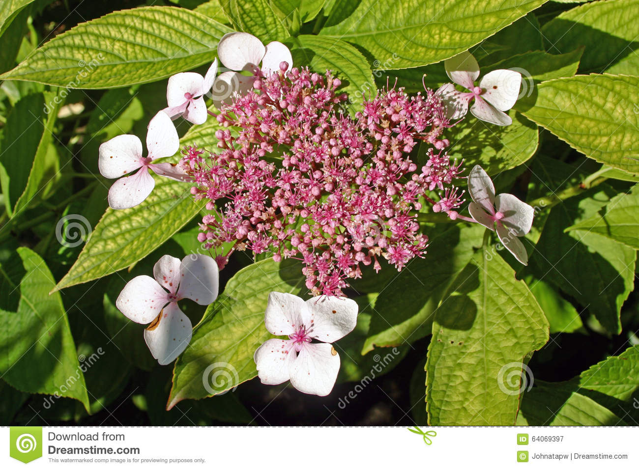 Cluster Of White Flowers Stock Image Image Of Flowered 64069397