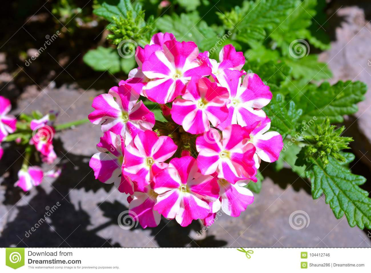 Clusters of delicate tiny pink and white flowers stock photo image clusters of delicate tiny pink and white flowers mightylinksfo