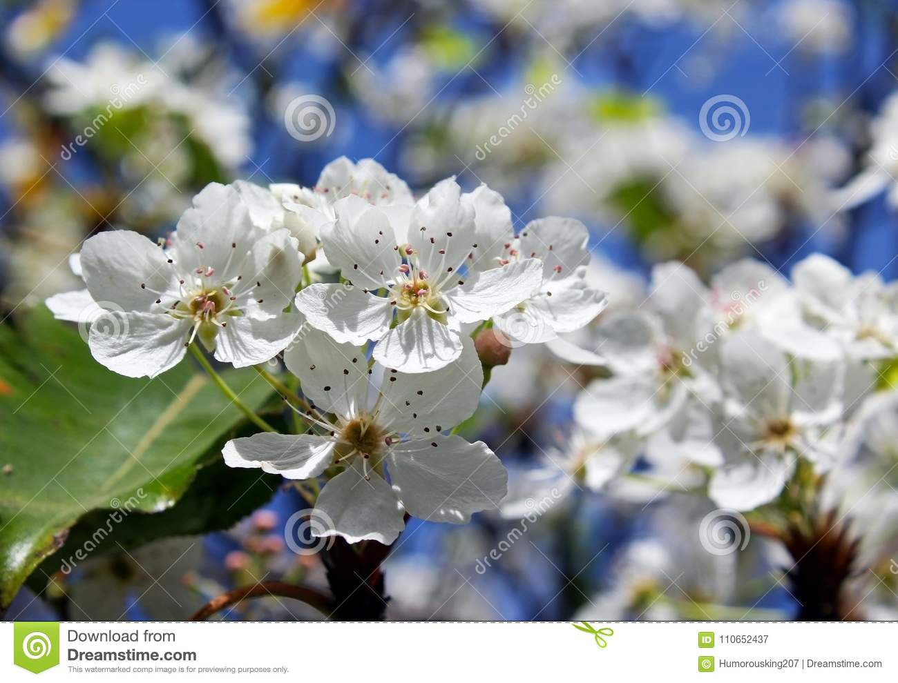 Clusters of evergreen pear white flowers stock image image of download clusters of evergreen pear white flowers stock image image of evergreen bloom mightylinksfo