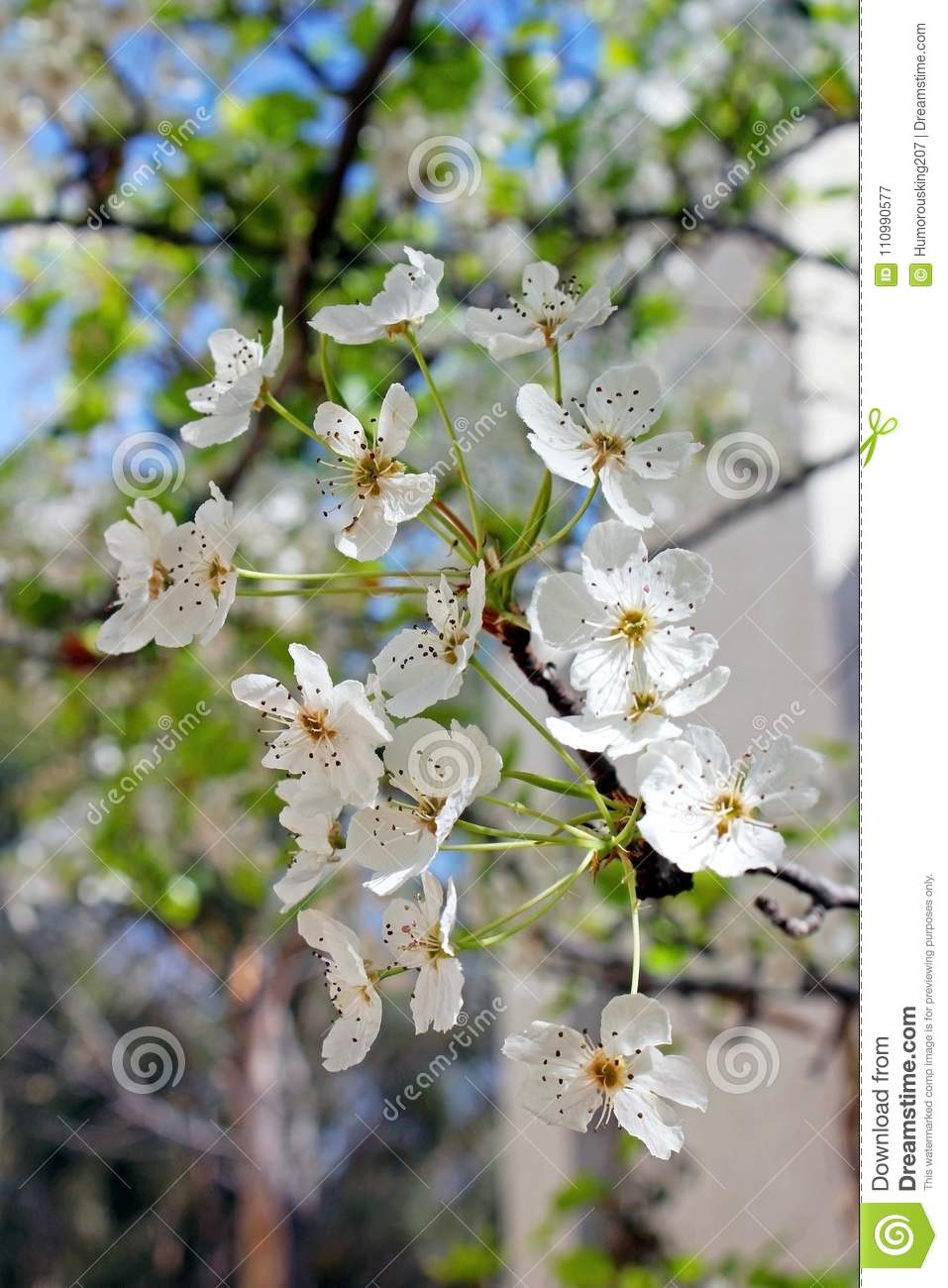 Clusters Of Evergreen Pear White Flowers Stock Image Image Of