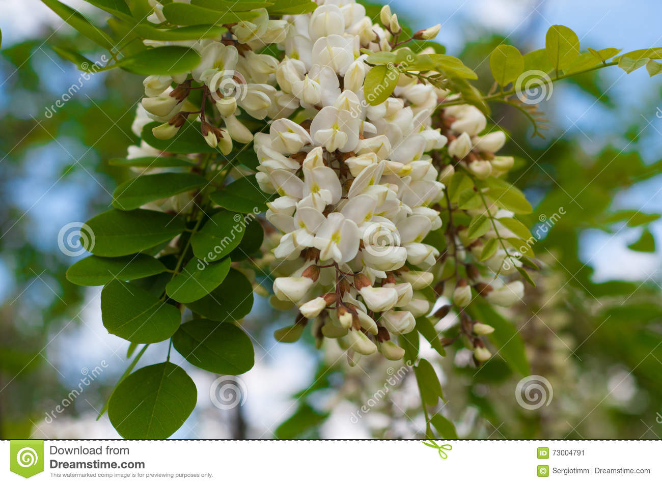 Clusters of fragrant white acacia flowers with green leaves and download clusters of fragrant white acacia flowers with green leaves and stock image image of mightylinksfo