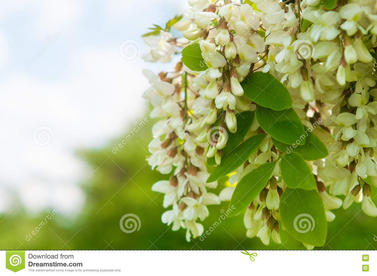 Great fragrant white flowering trees contemporary wedding and clusters of fragrant white acacia flowers with green leaves and mightylinksfo Gallery