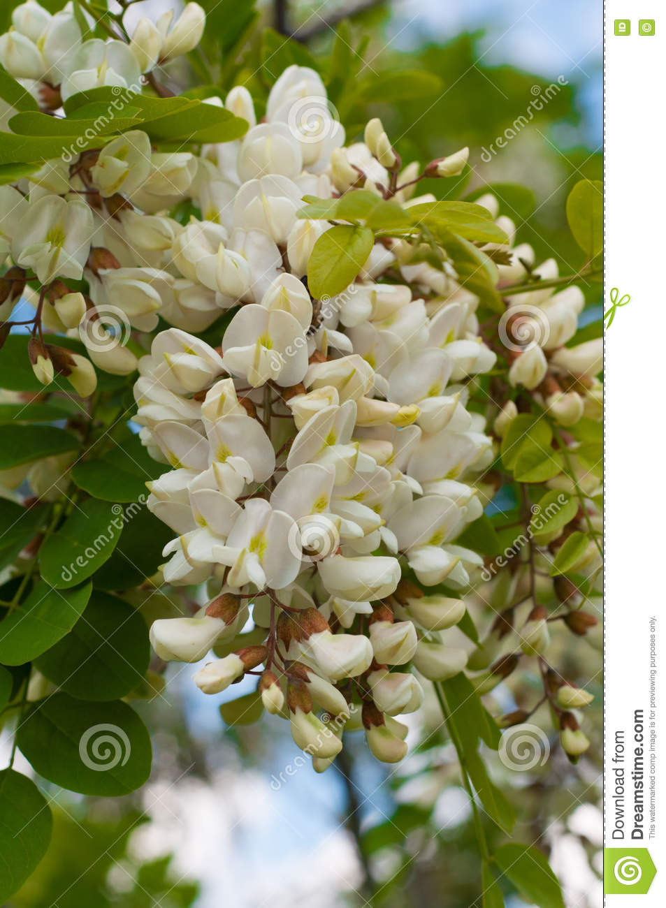 Clusters Of Fragrant White Acacia Flowers With Green Leaves And