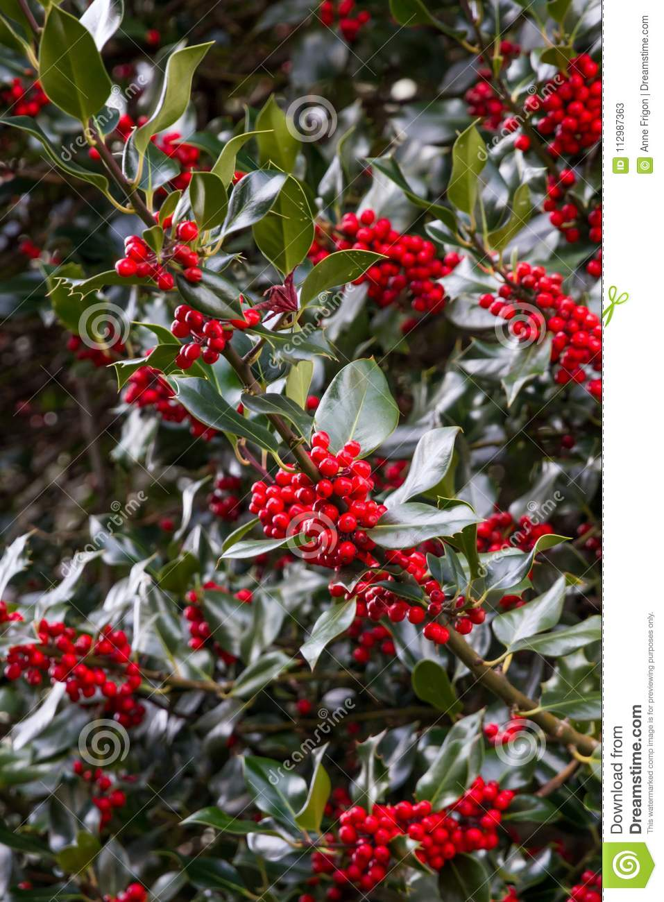 Bright red berries clustered against dark green evergreen leaves