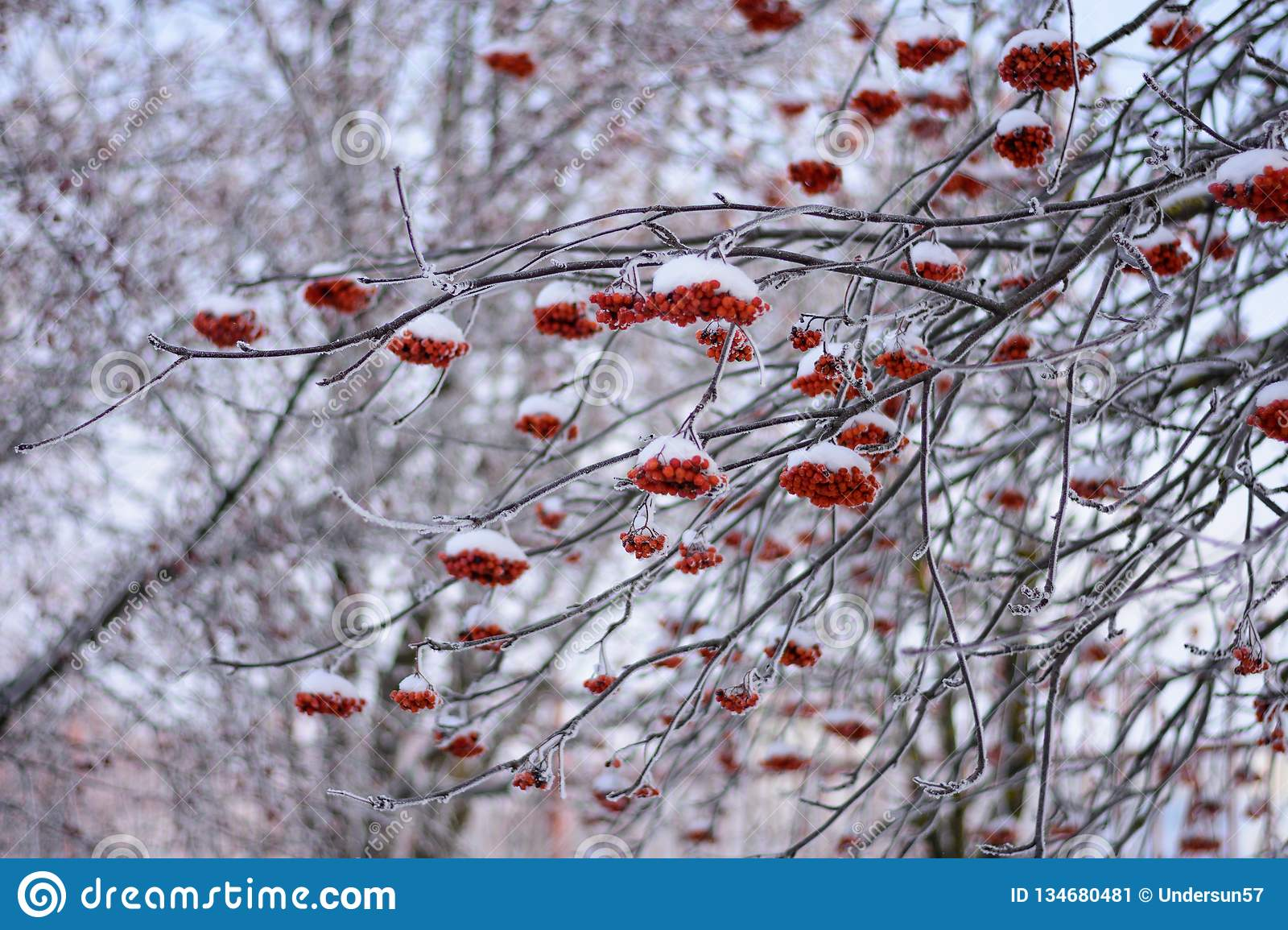 Clusters of Rowan on snow-covered branches