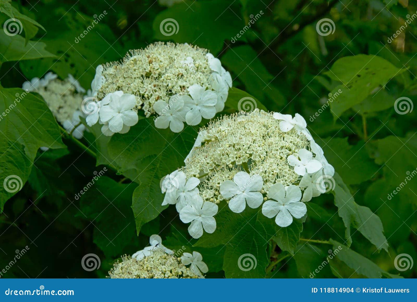White black haw flower cluster viburnum prunifolium stock photo white black haw flower cluster viburnum prunifolium mightylinksfo