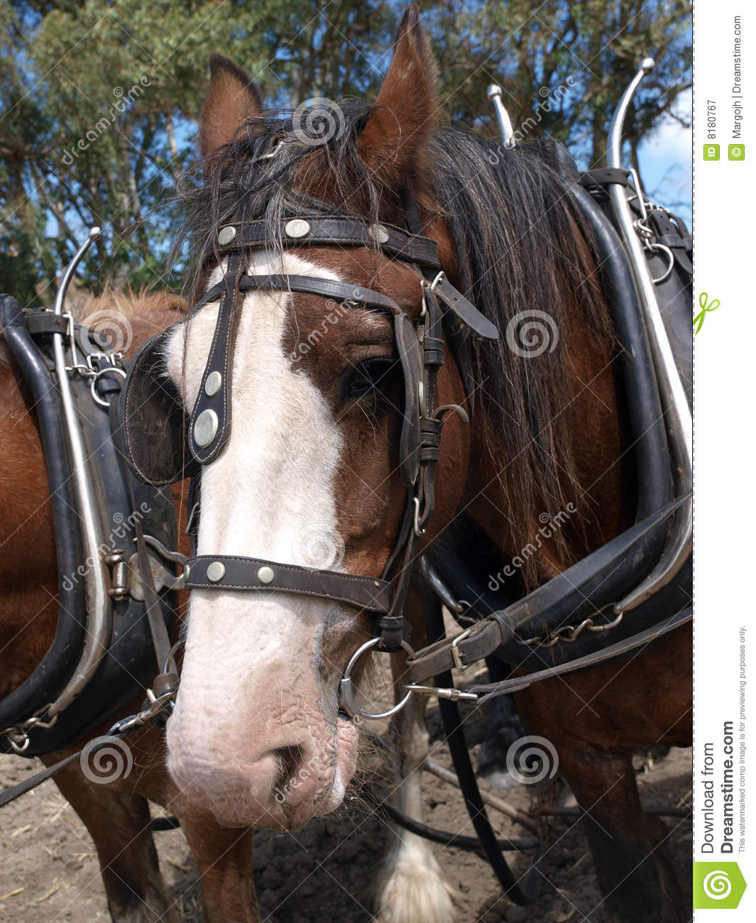 Snow Plow Prices >> Clydesdale In Harness Royalty Free Stock Photography - Image: 8180767