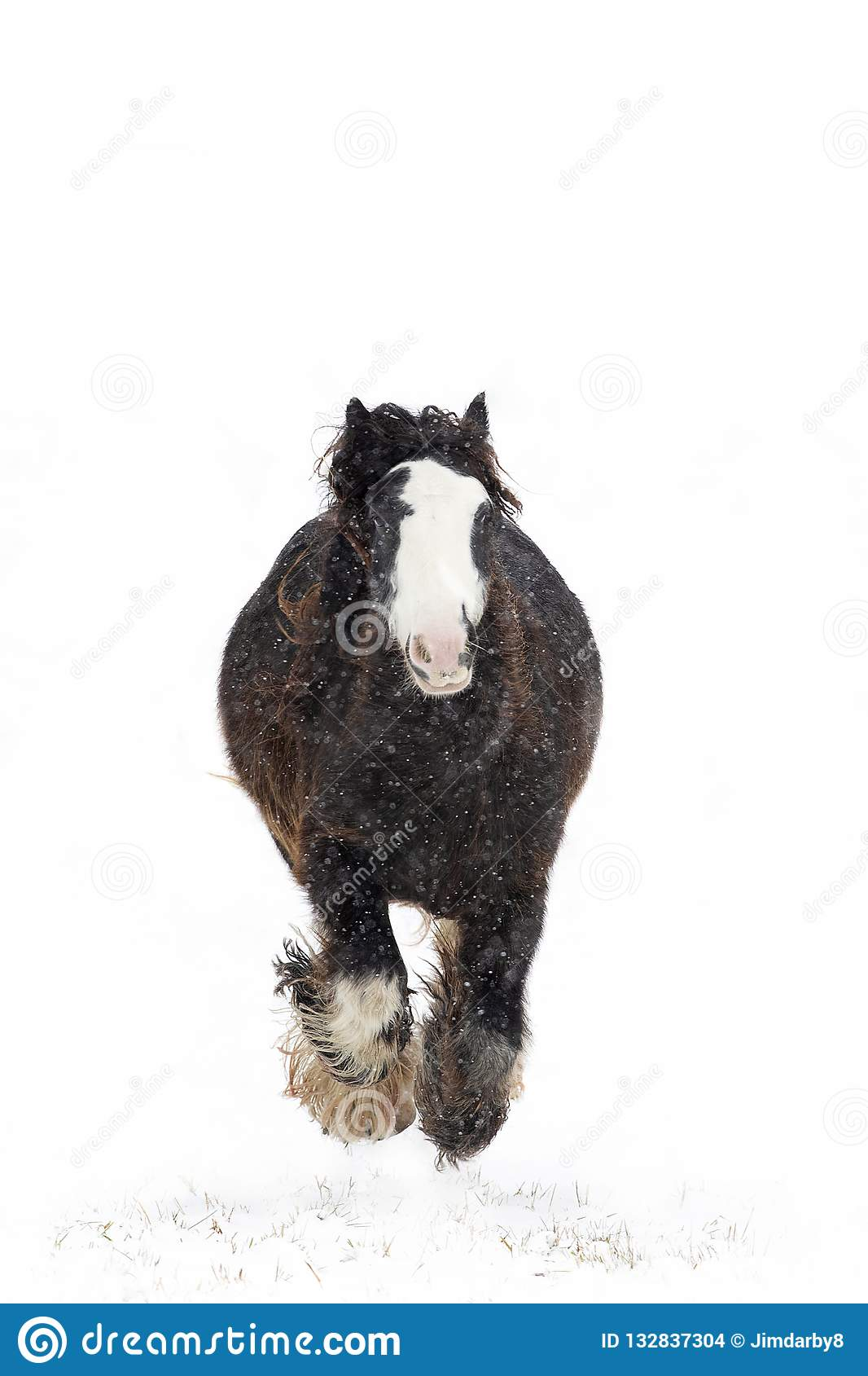 A Clydesdale Horse Running In The Falling Snow In Winter In Canada Stock Photo Image Of Dramatic Galloping 132837304