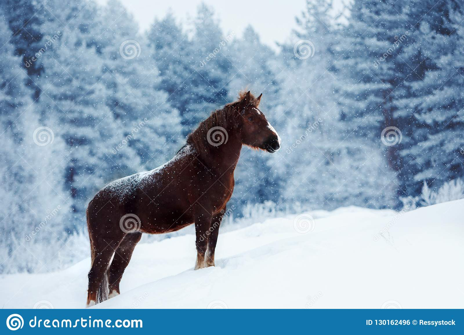 Clydesdale Horse Staing On A Snowy Field In Winter Stock Photo Image Of Animal Gallop 130162496