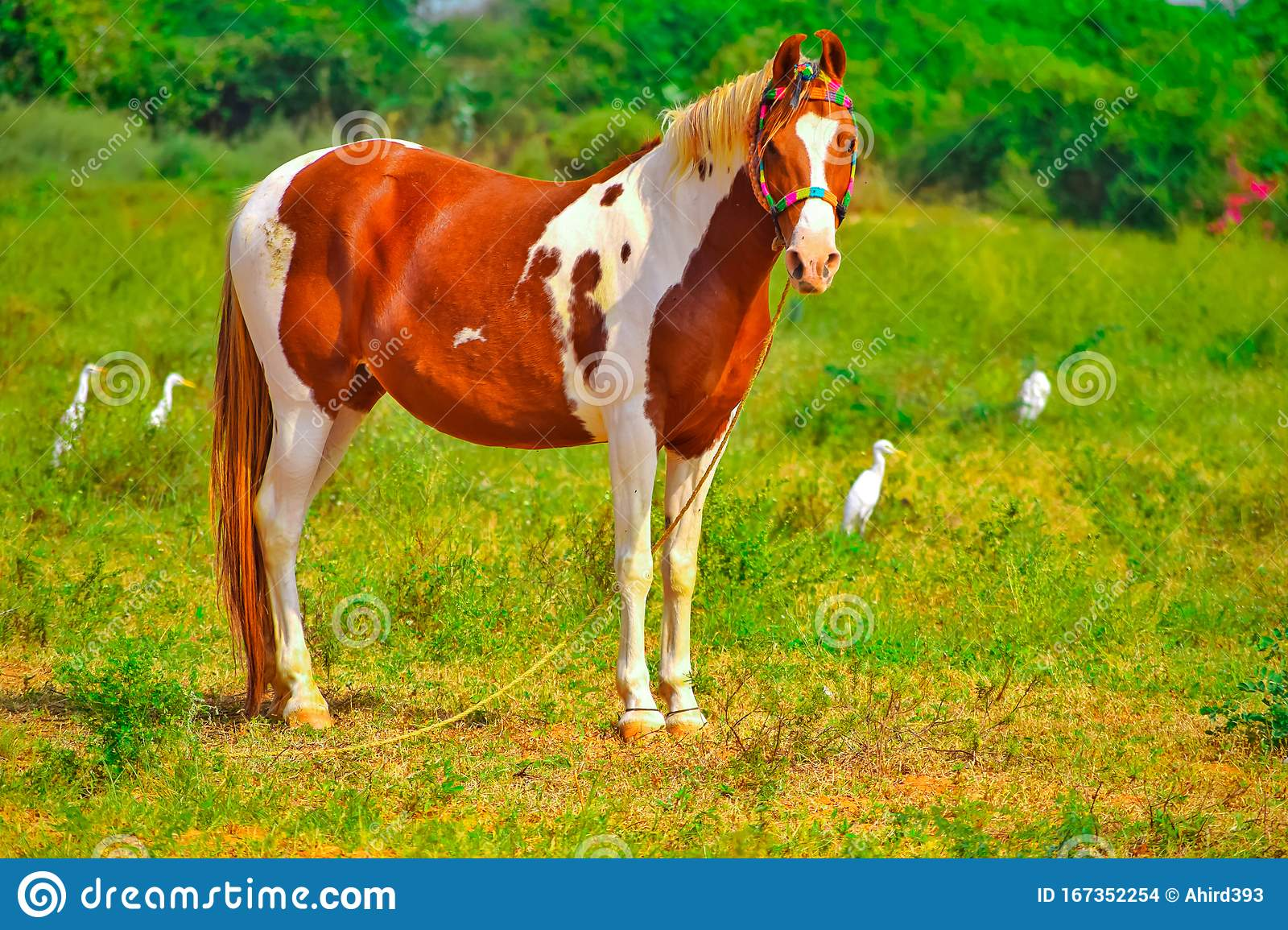 Clydesdale Horse Standing On Ground Brown And White Horse Standing In High Grass Arabic Horse In A Meadow Running Playing Stock Photo Image Of Equestrian Nature 167352254