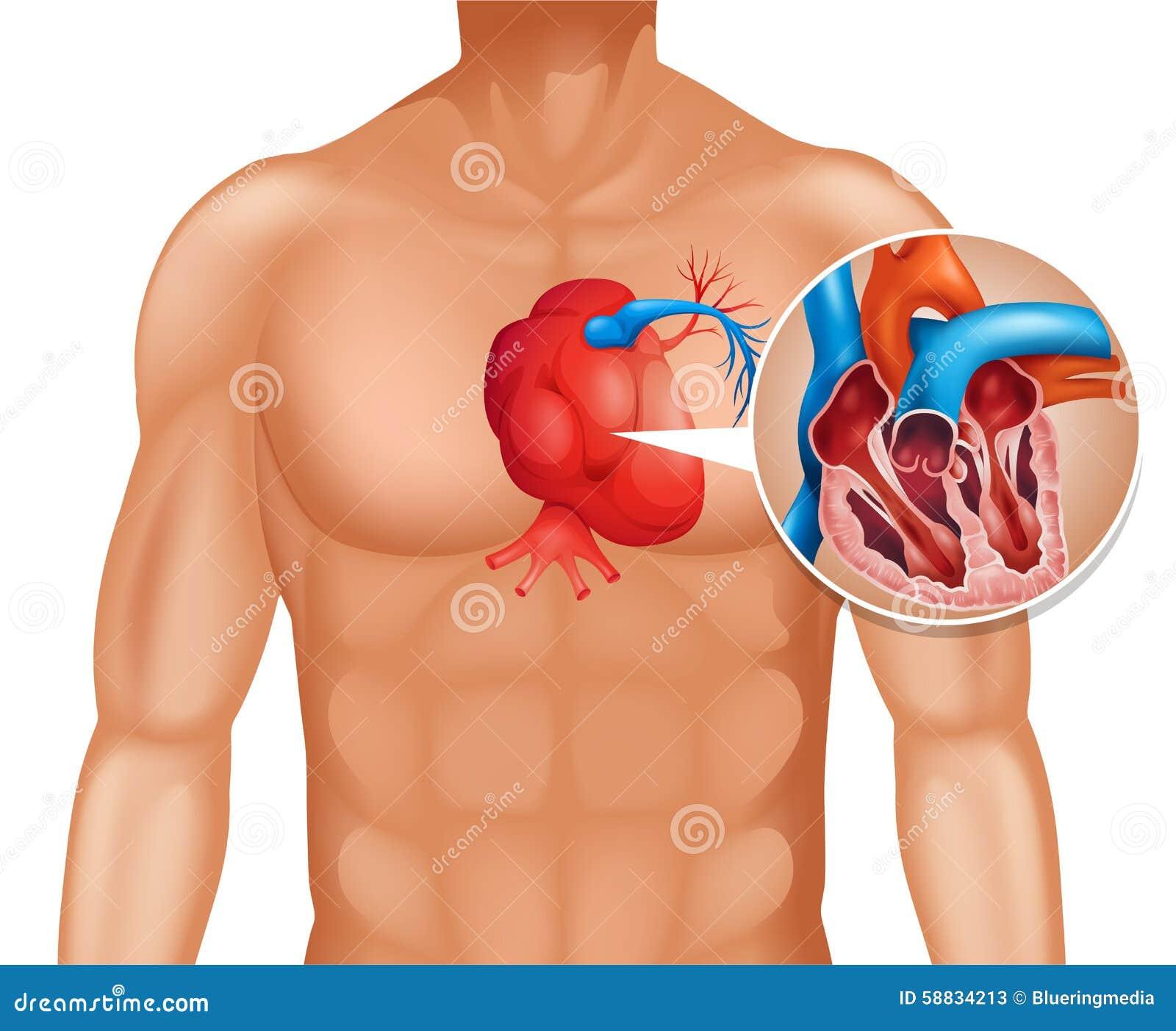 C ncer del coraz n en ser humano ilustraci n del vector for Fotos del corazon