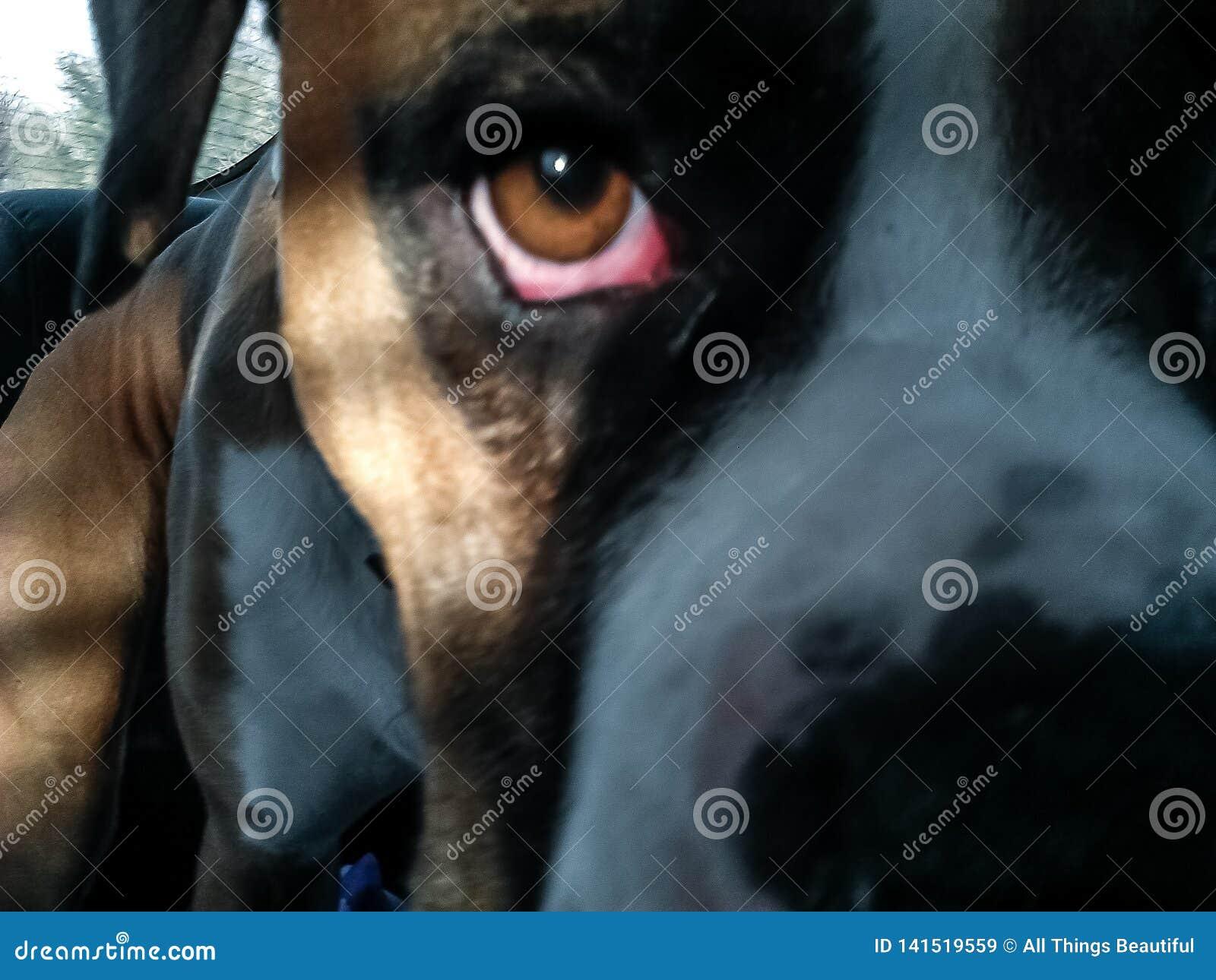 собака боксера