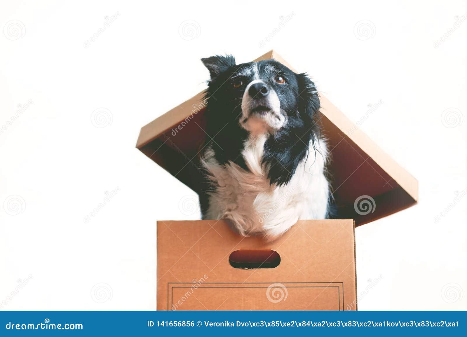Собака в бумажной коробке Тема inappropriateness дарить живые животных Коллиа границы
