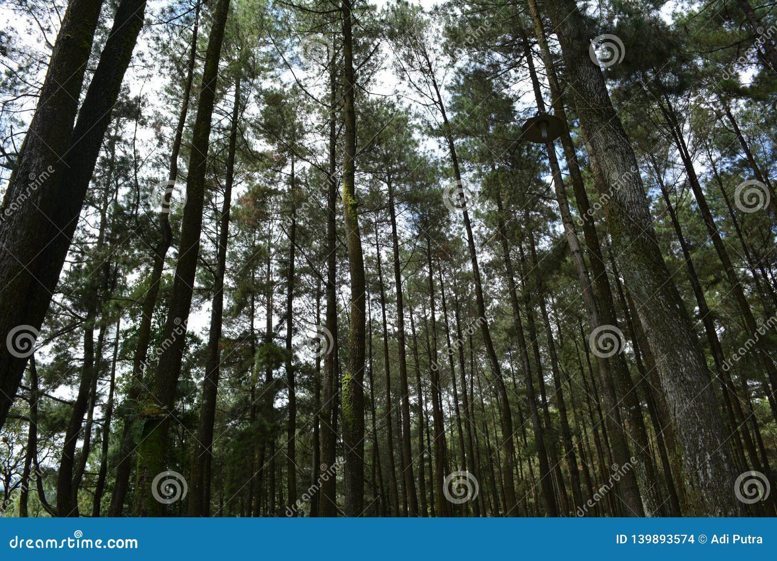 Сосновый лес на ungaran держателя