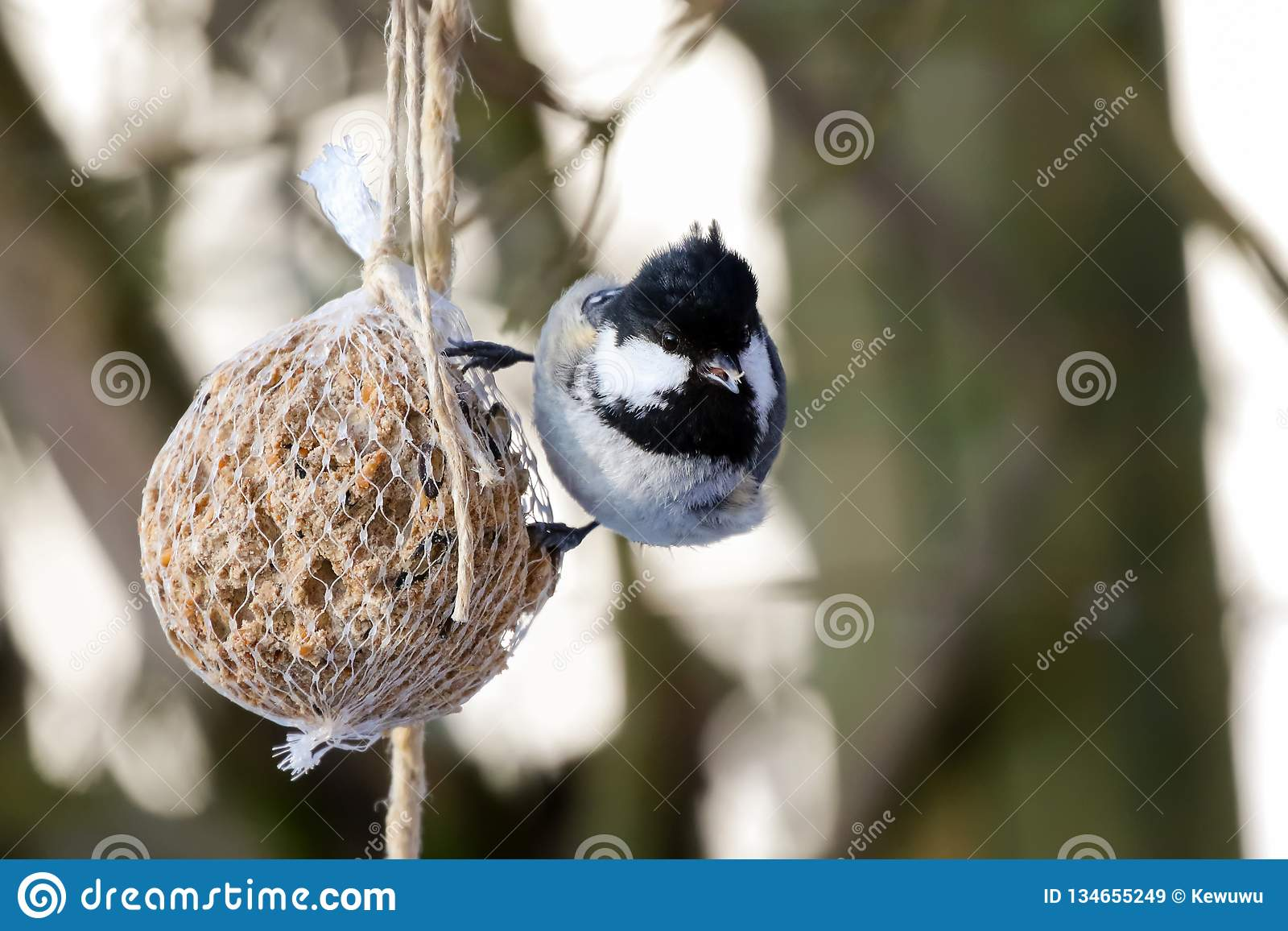 Coal tit bird on nuts seeds in meshed bag. Small passerine in grey black on suet treat feeder
