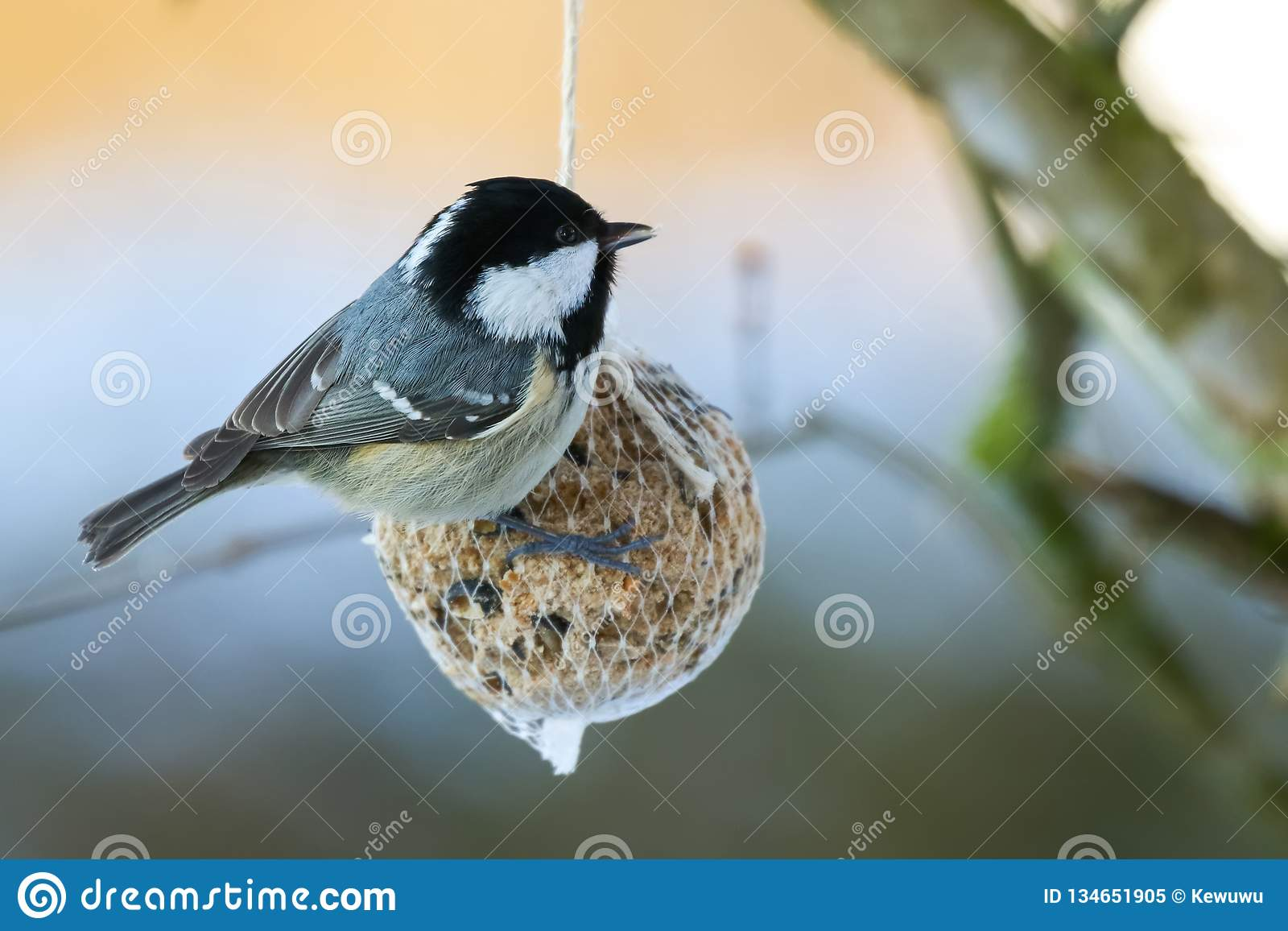 Coal tit bird on nuts seeds in meshed bag. Small passerine on suet treat feeder during winter