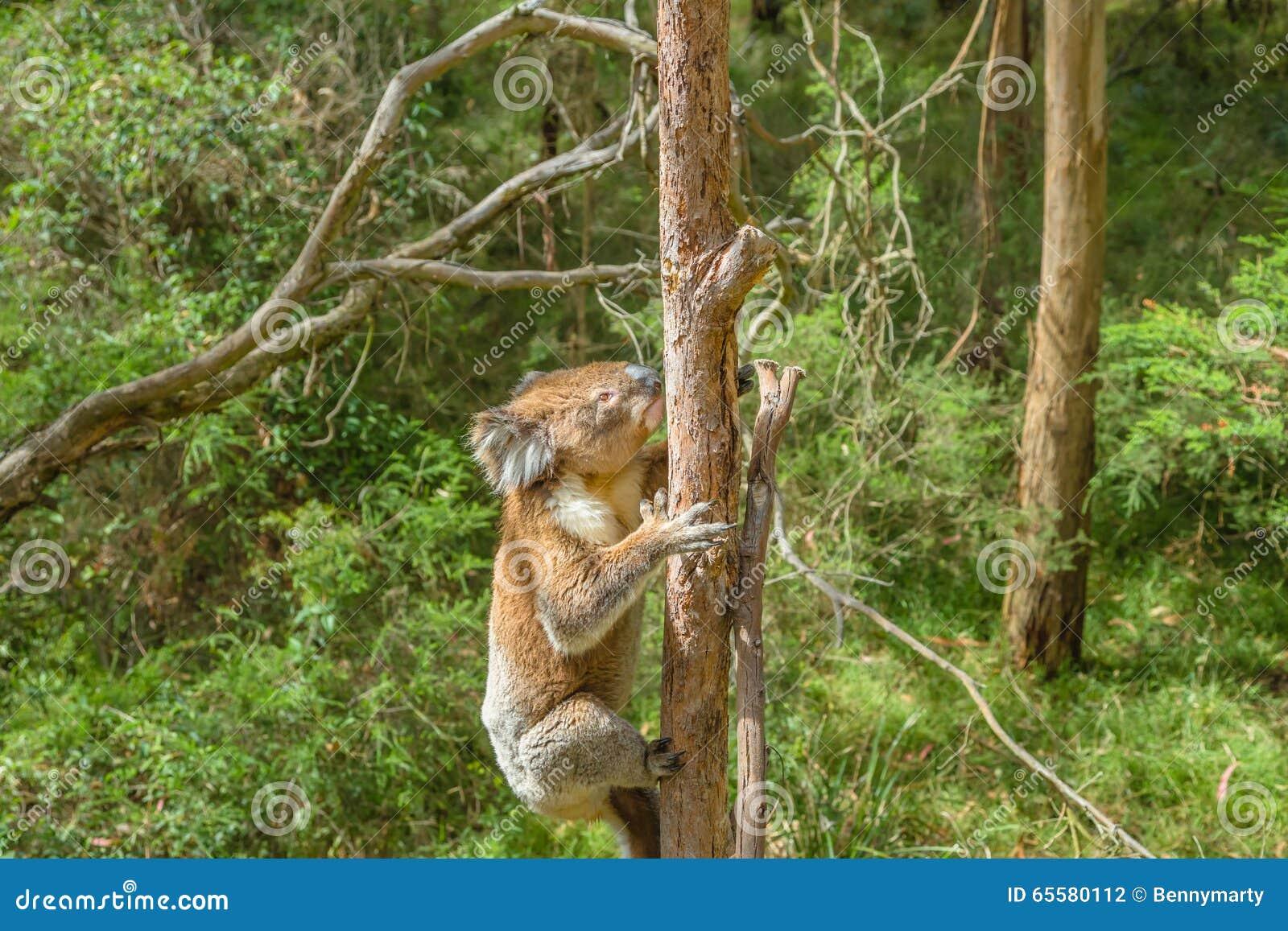 Coala australiana em um ramo