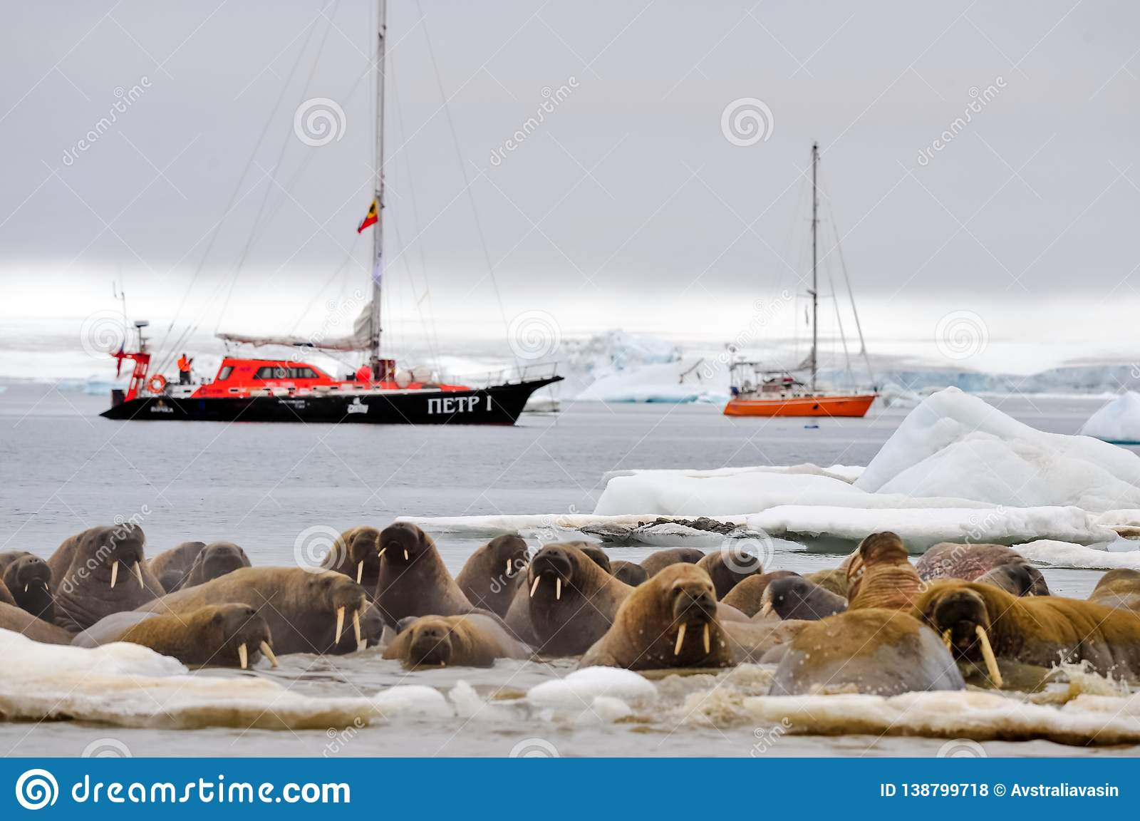 Walrus on an ice floe. Vessel of the Arctic expedition in the waters of the Arctic Ocean