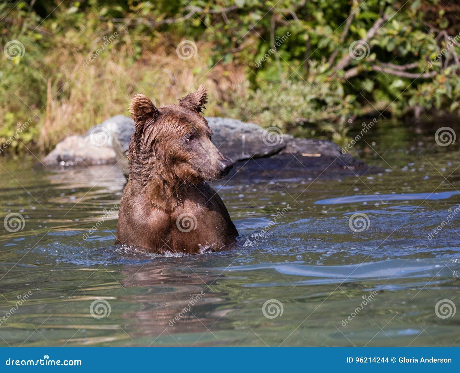 Coastal brown bear in the water