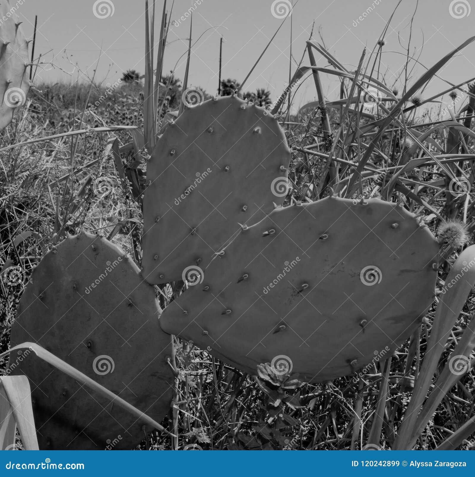 Coastal Prickly Pear Cactus Monochrome