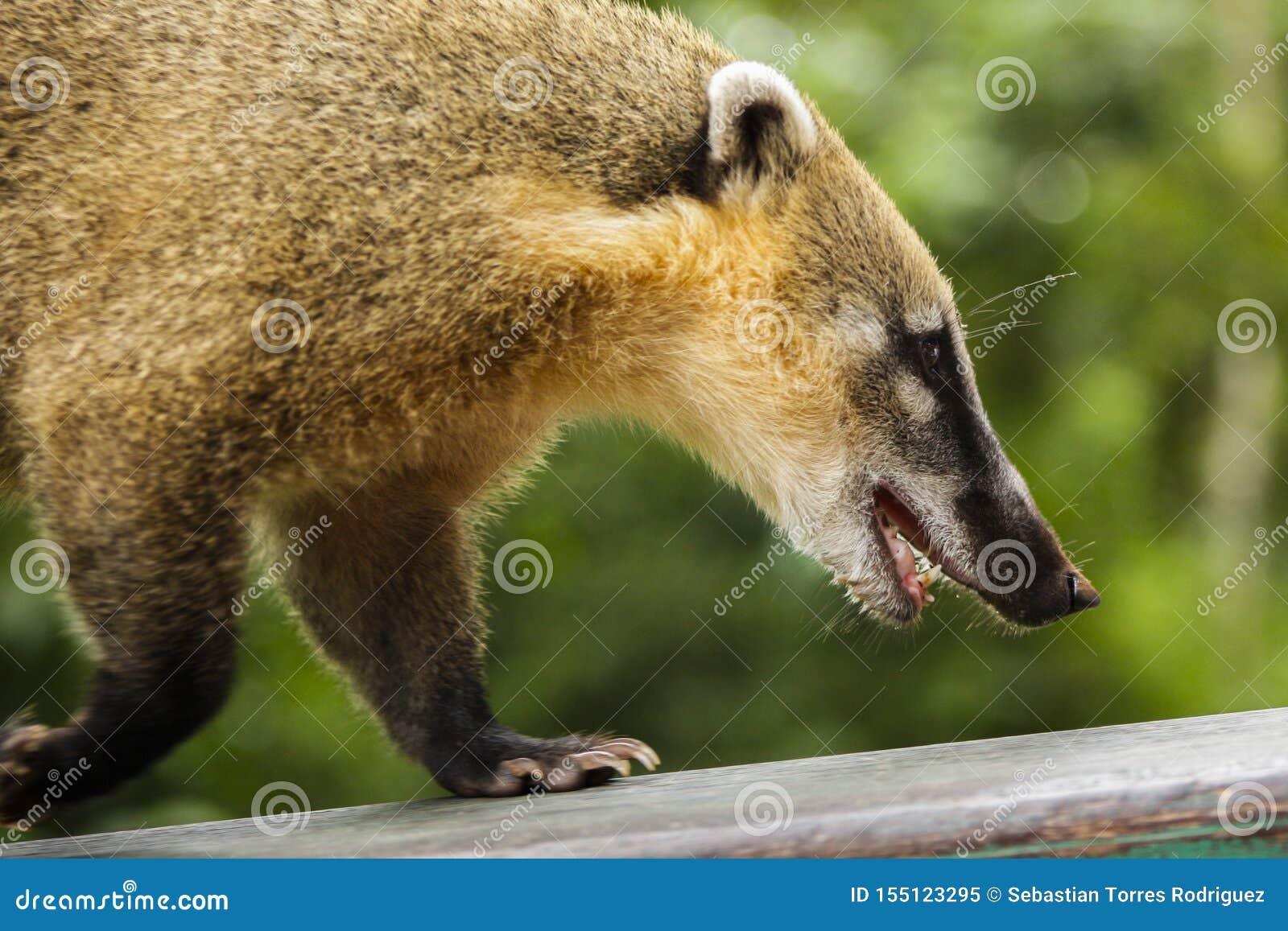 Coati που περπατά στο ξύλο