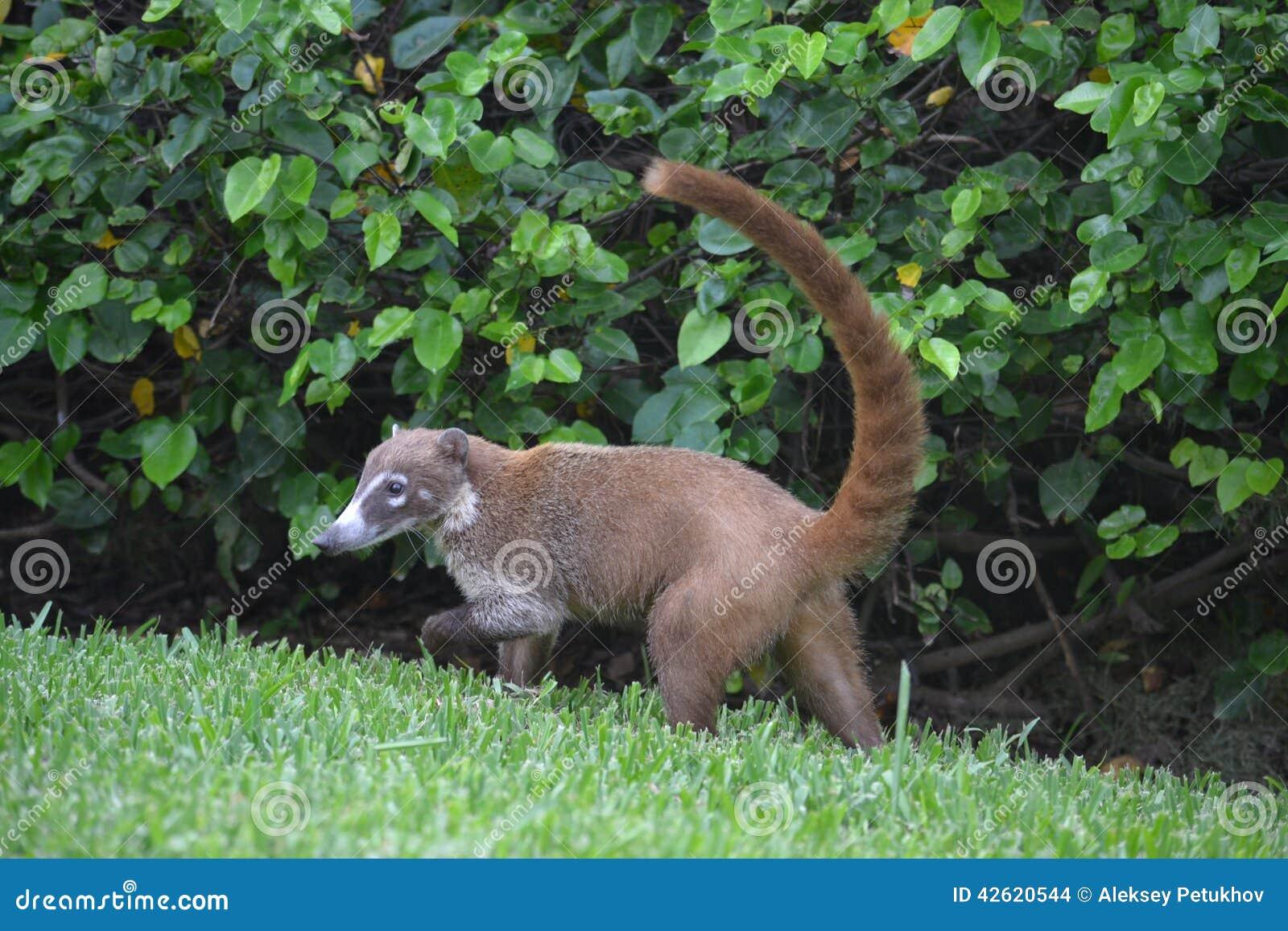 Coati Animals Fauna Exotic Yucatan Tropical Mexico Stock Photo - Image ...