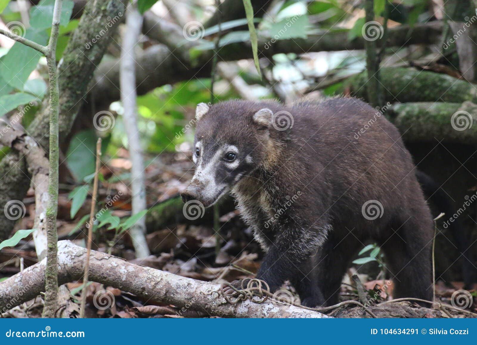 Download Coati, Het Nationale Park Van Corcovado, Costa Rica Stock Afbeelding - Afbeelding bestaande uit park, zoet: 104634291