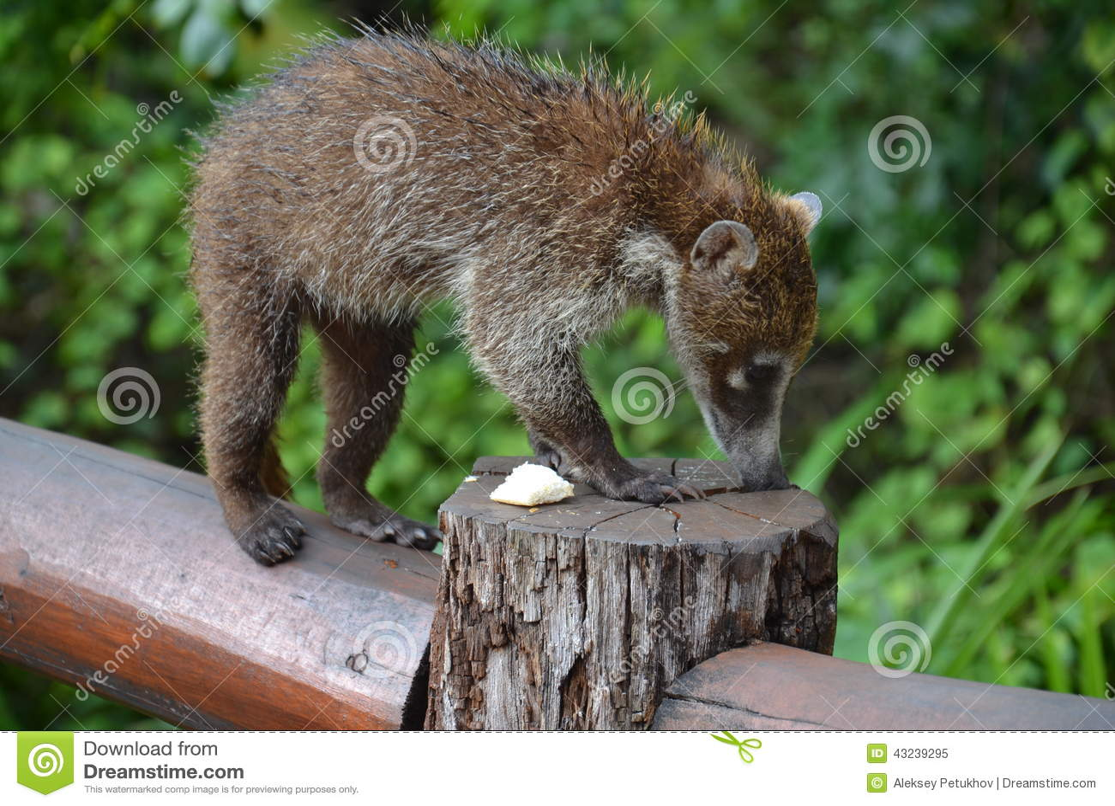 Caribbean Animals: Coati. Nature, Tropics, Caribbean, Yucatan, Mexico Stock