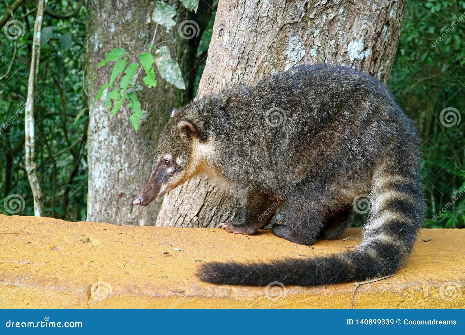 Coati, uno de muchos Mapache-como las criaturas encontradas en el parque nacional de las cataratas del Iguazú, Puerto Iguazu, la