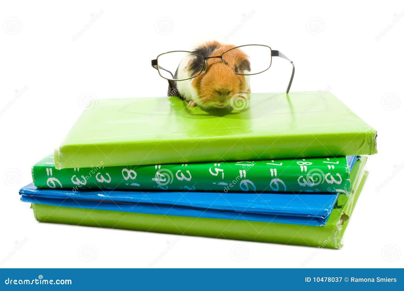 Cobaia com vidros em uma pilha de schoolbooks