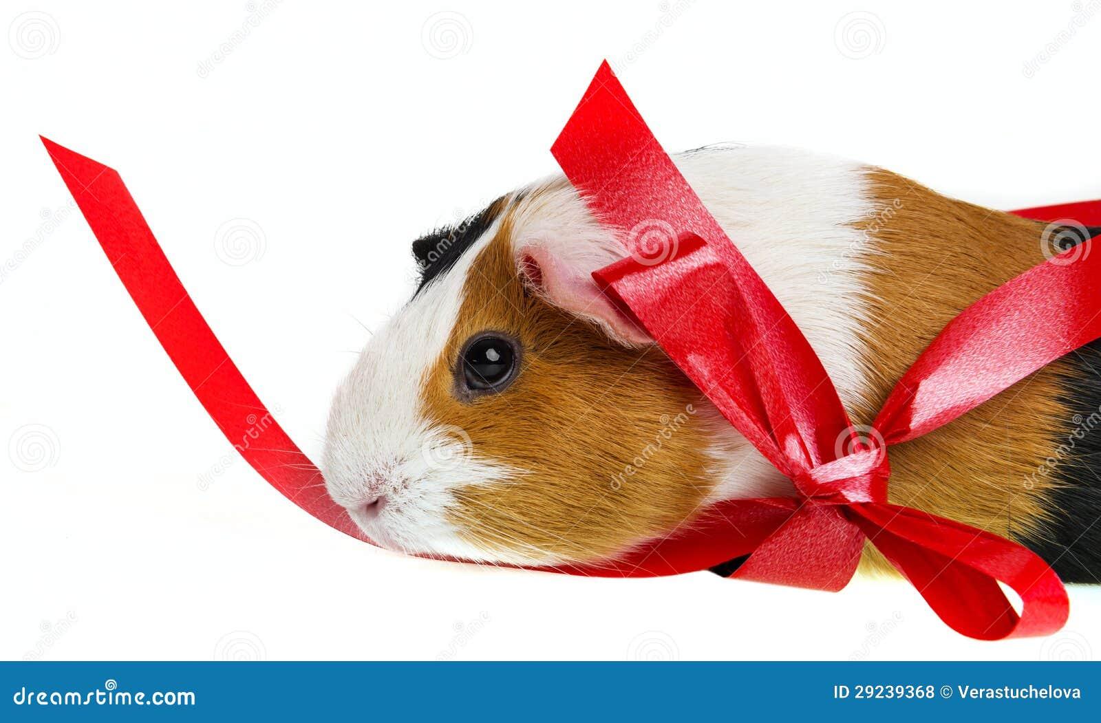 Download Cobaia Do Animal De Estimação Foto de Stock - Imagem de animal, reprodutor: 29239368