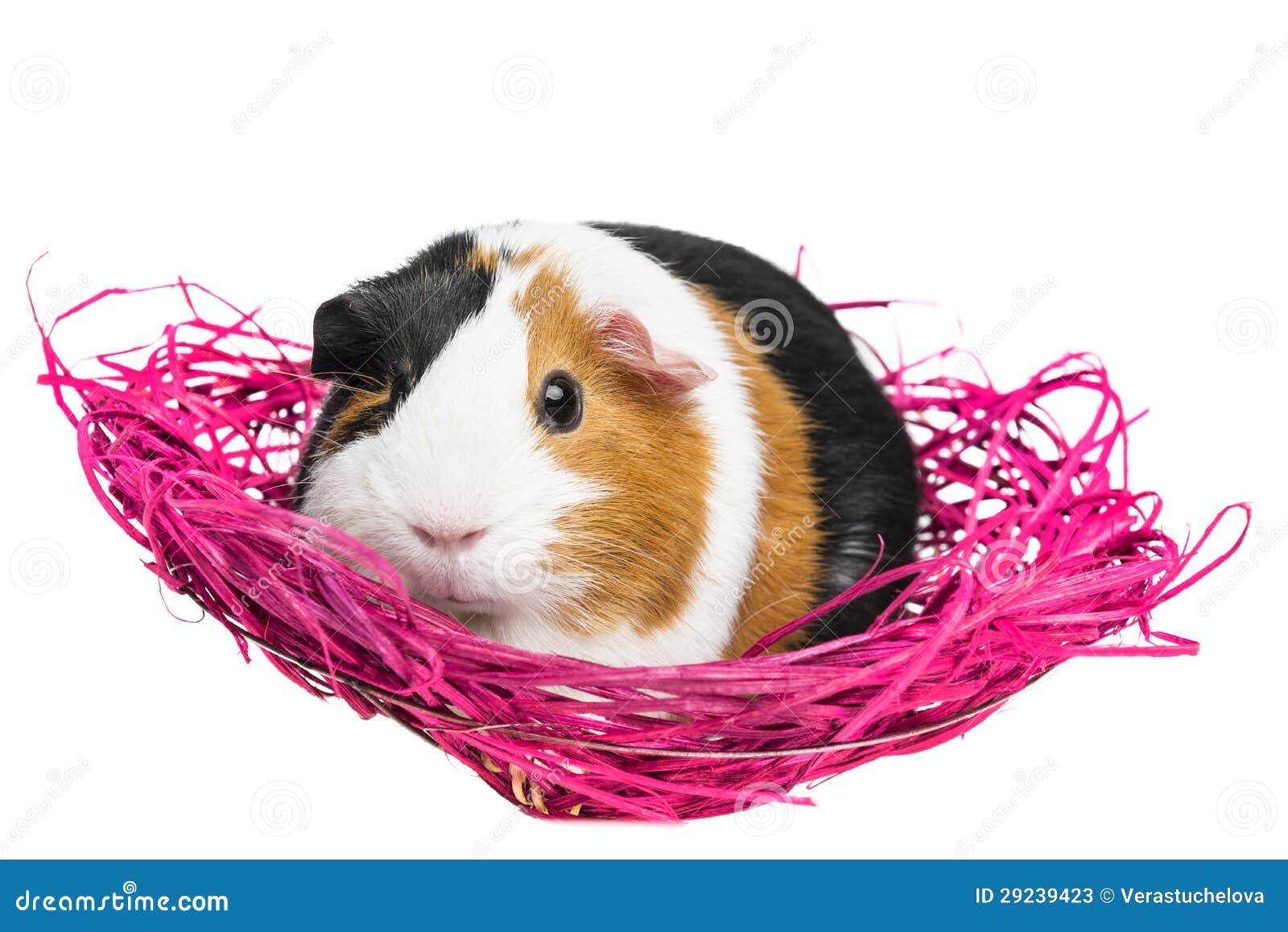 Download Cobaia Em Um Ninho Cor-de-rosa Imagem de Stock - Imagem de fundo, adorable: 29239423