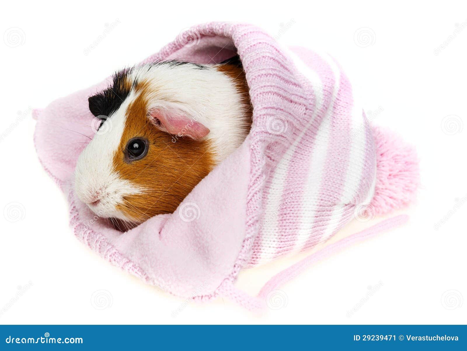 Download Cobaia Em Um Tampão Cor-de-rosa Isolado Imagem de Stock - Imagem de tampão, friendship: 29239471