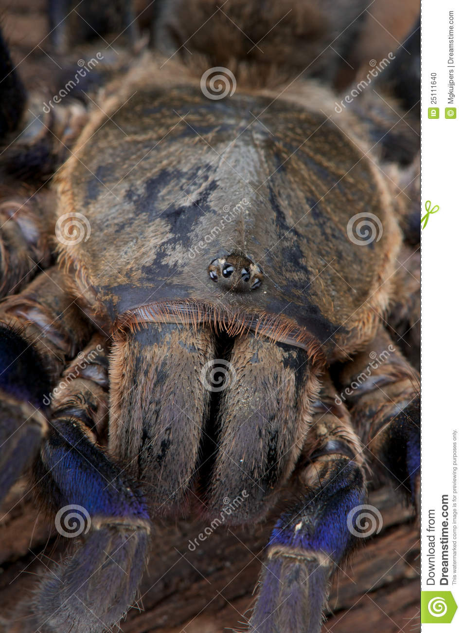 Cobalt Blue Tarantula Stock Photo - Image: 25111640